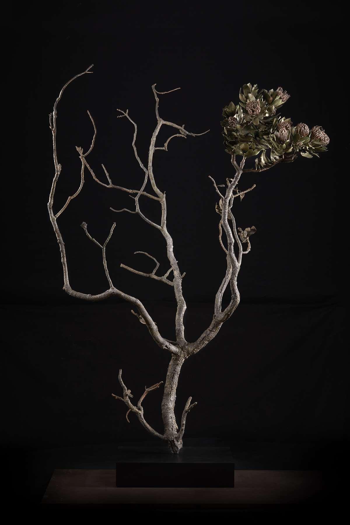<i>Leucospermum conocarpodendron subsp. conocarpodendron </i>