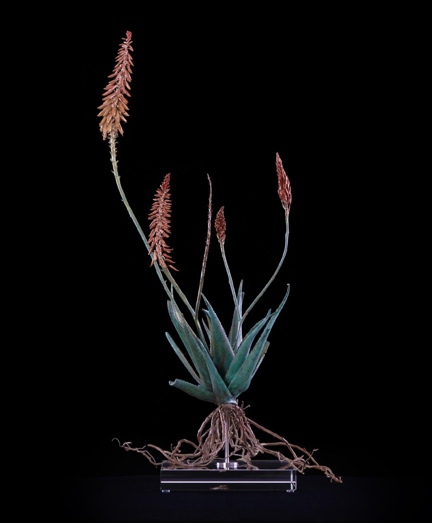 <i>Aloe pluridens x (vi)  </i>