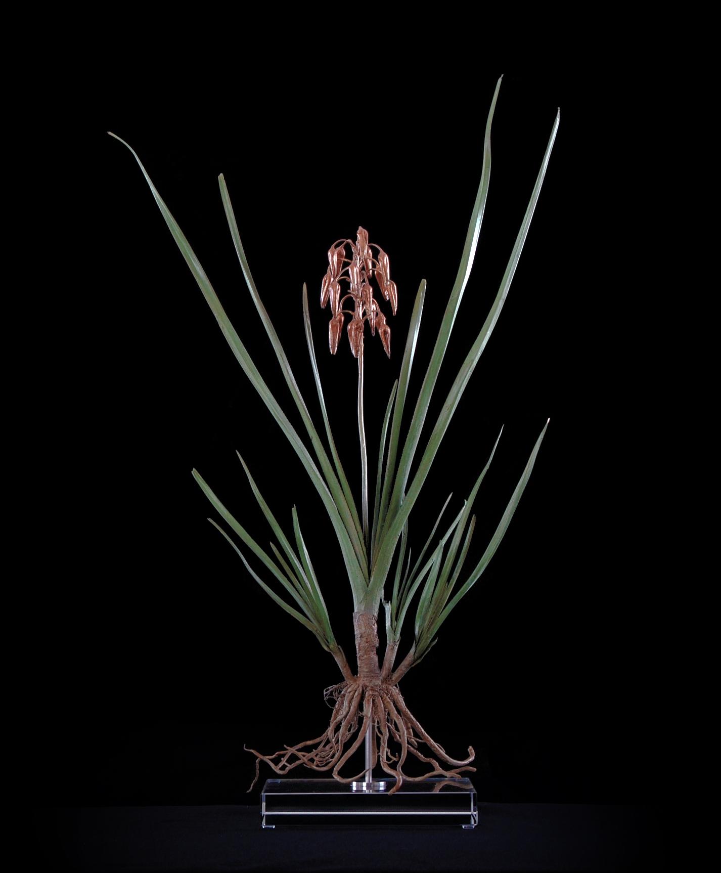 <i>Aloe cooperi</i>