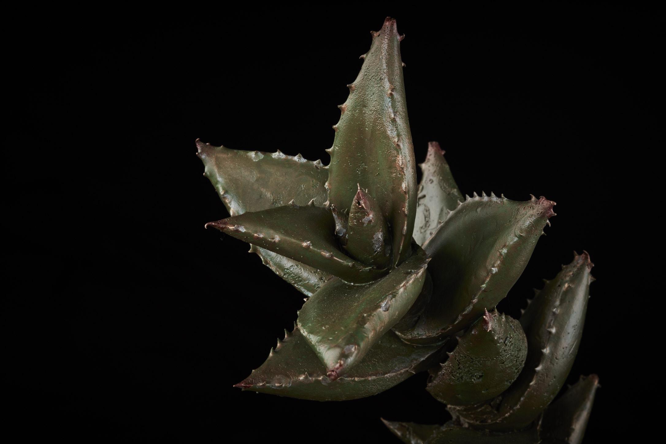 NicBladenBotanicals_LondonEX_Aloe distans_5903.jpg
