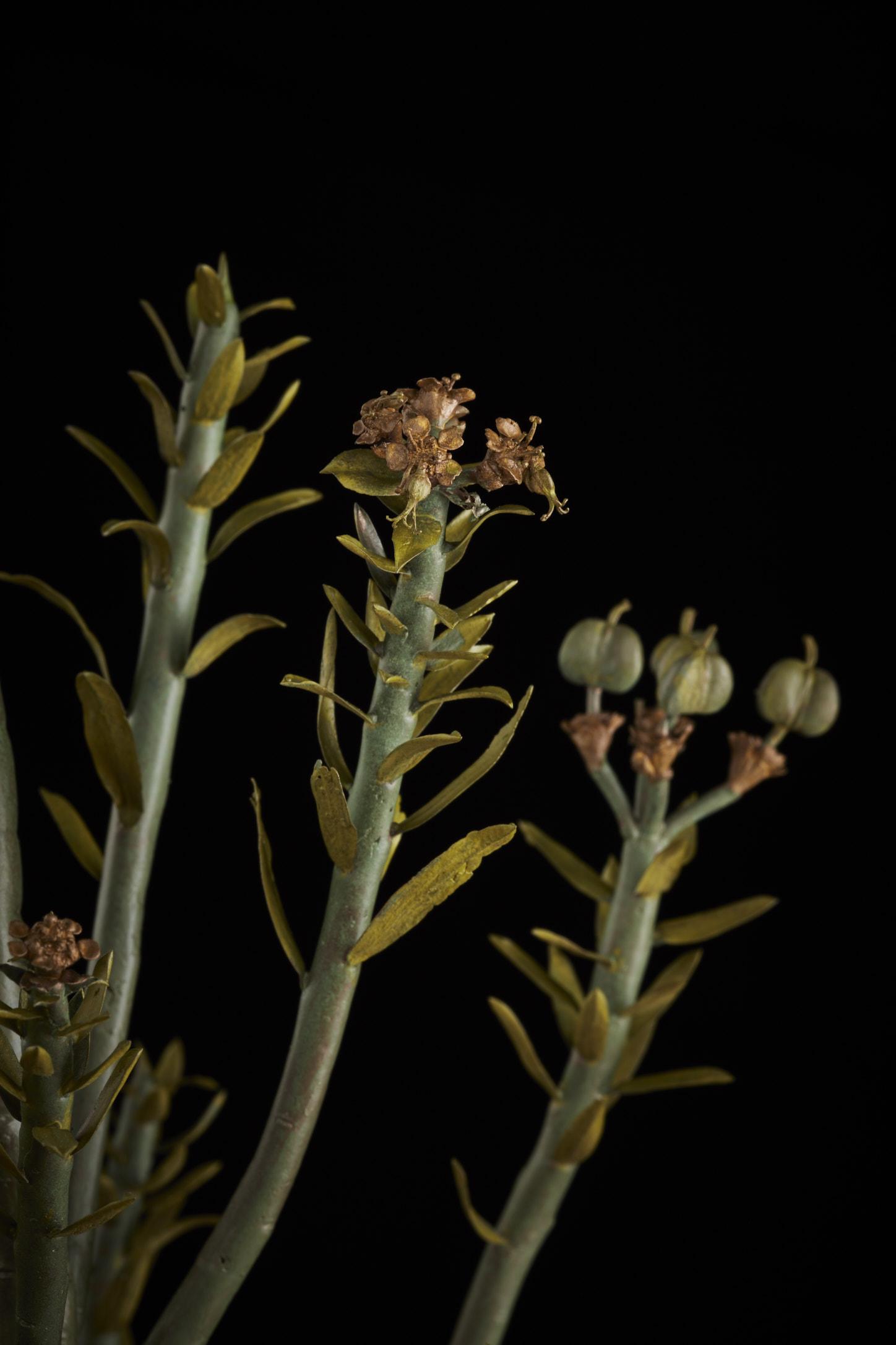 NicBladenBotanicals_LondonEX_Euphorbia mauritanica_5992.jpg
