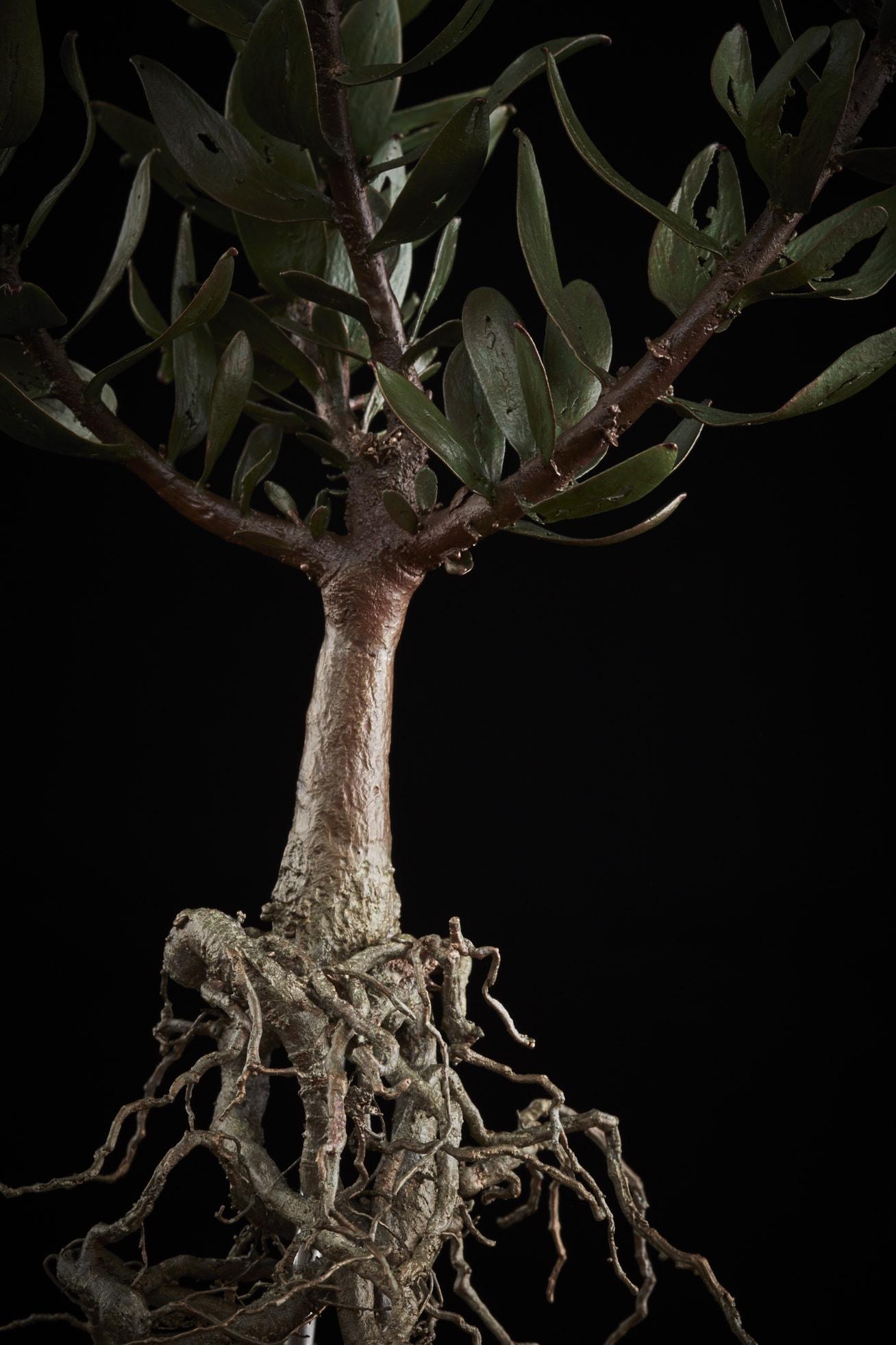 NicBladenBotanicals_LondonEX_Leucospermum bolusii_5958.jpg