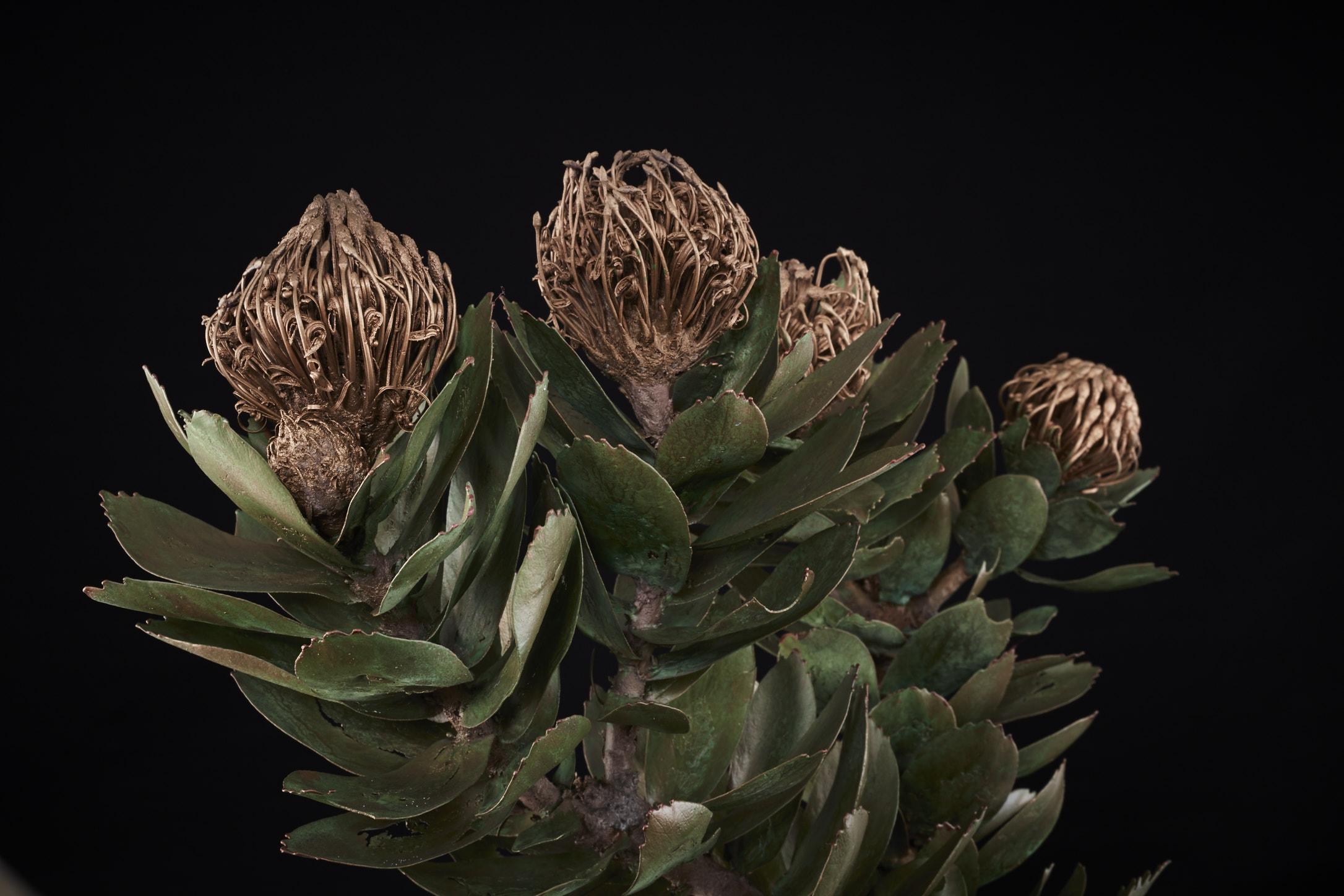 NicBladenBotanicals_LondonEX_Leucospermum conocarpodendron II_6307.jpg