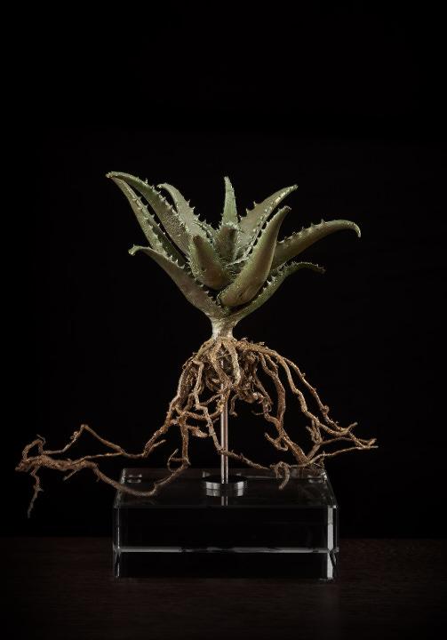 <i>Aloe Squarossa</i>