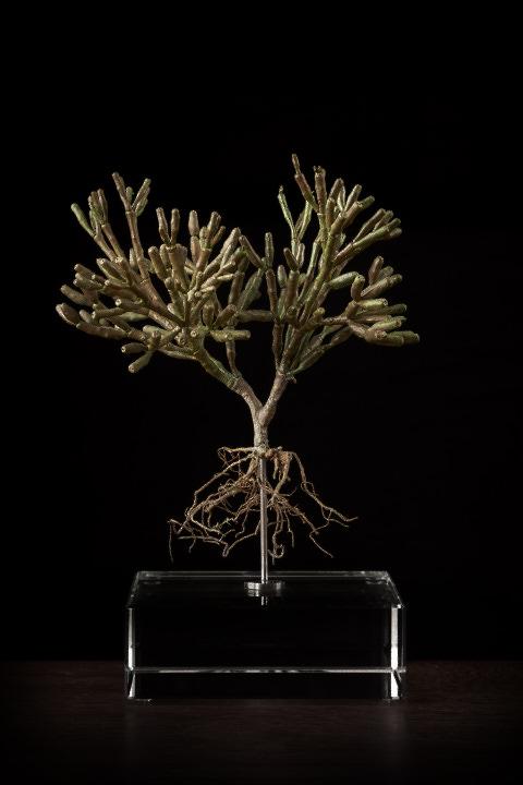 <i>Hatiora Salicorniodes</i>
