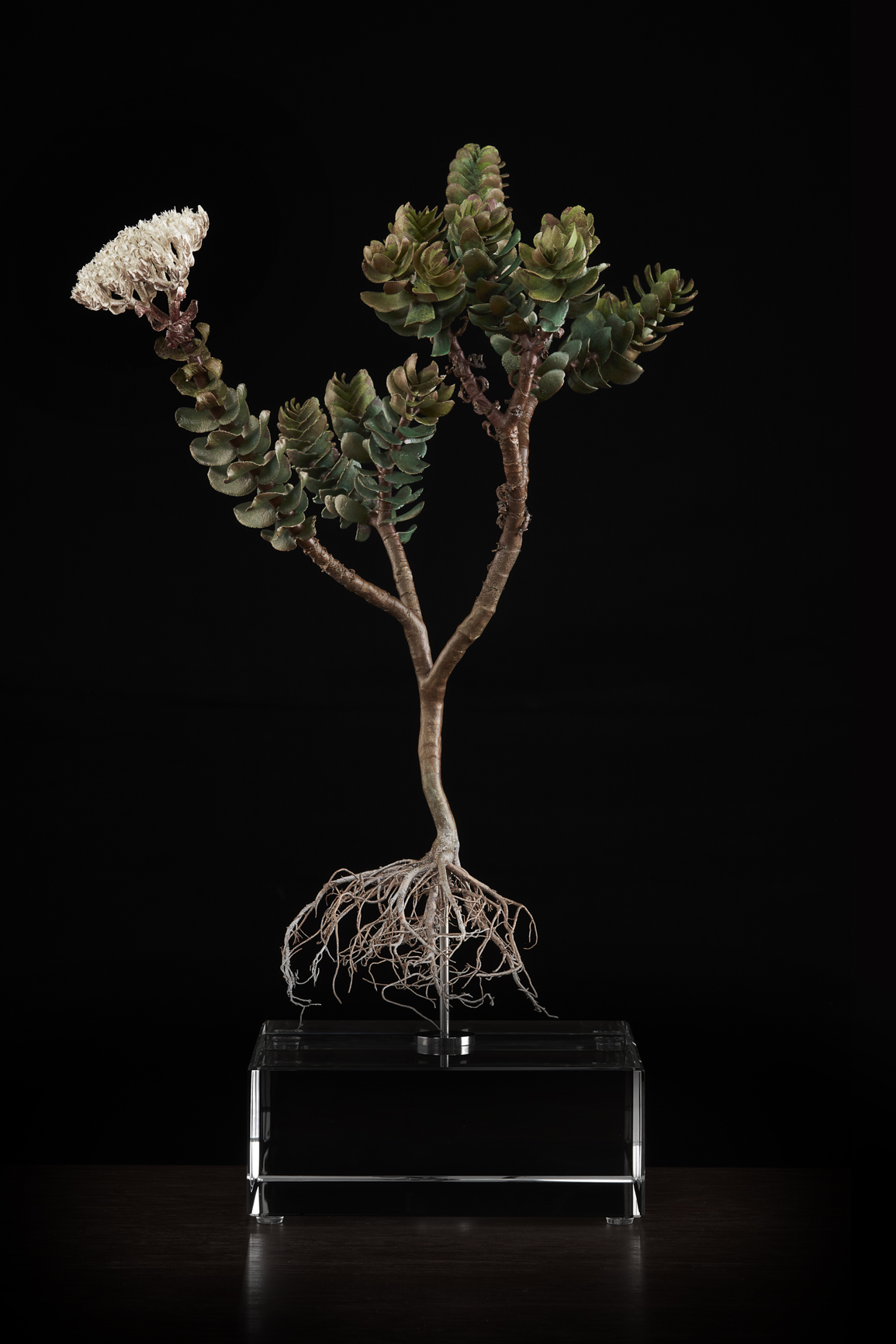 <i> Crassula dejecta </i>