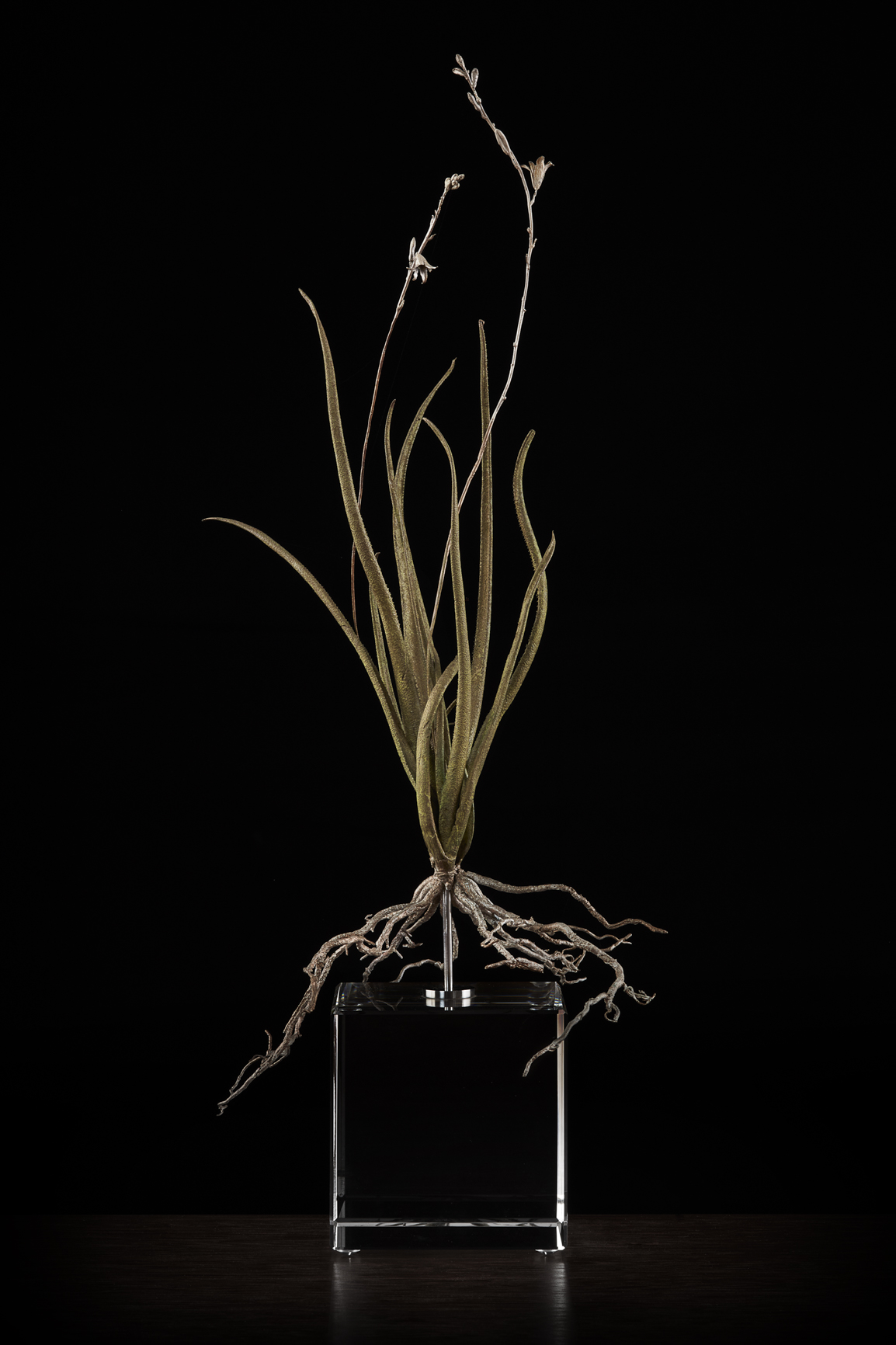 <i> Aloe albiflora </i>