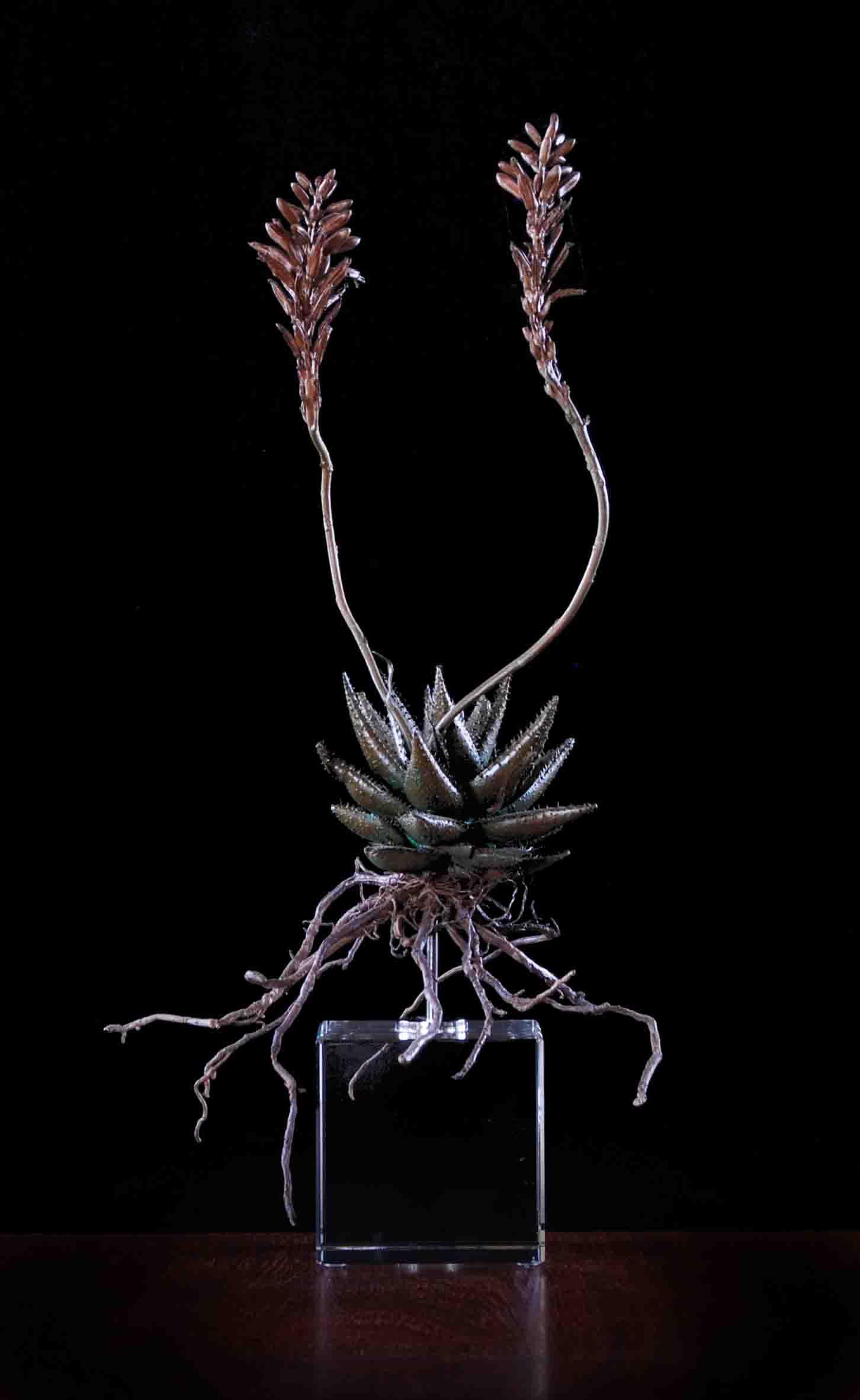 Aloe aristata Hybrid