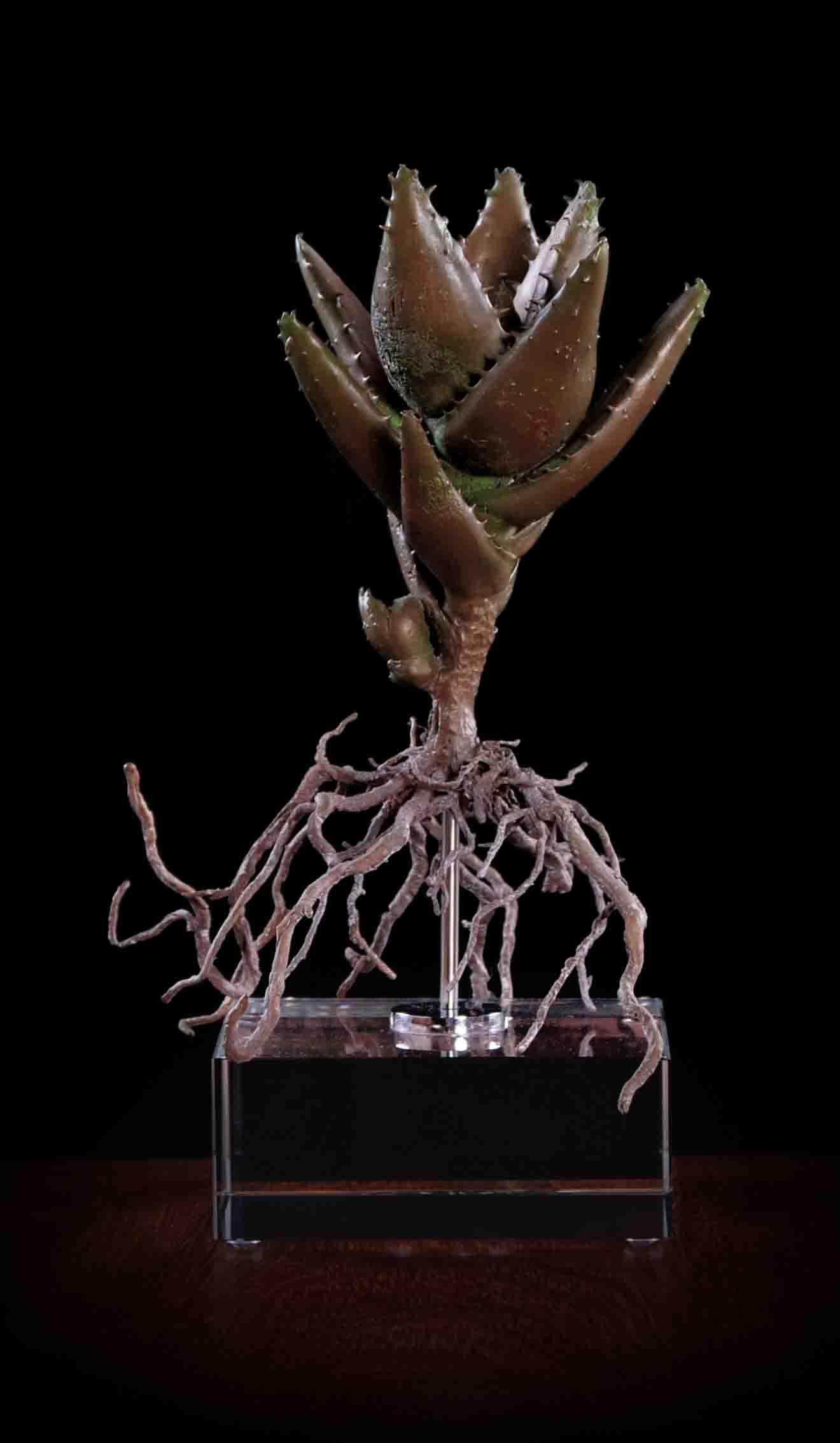 Aloe mitriformis ii