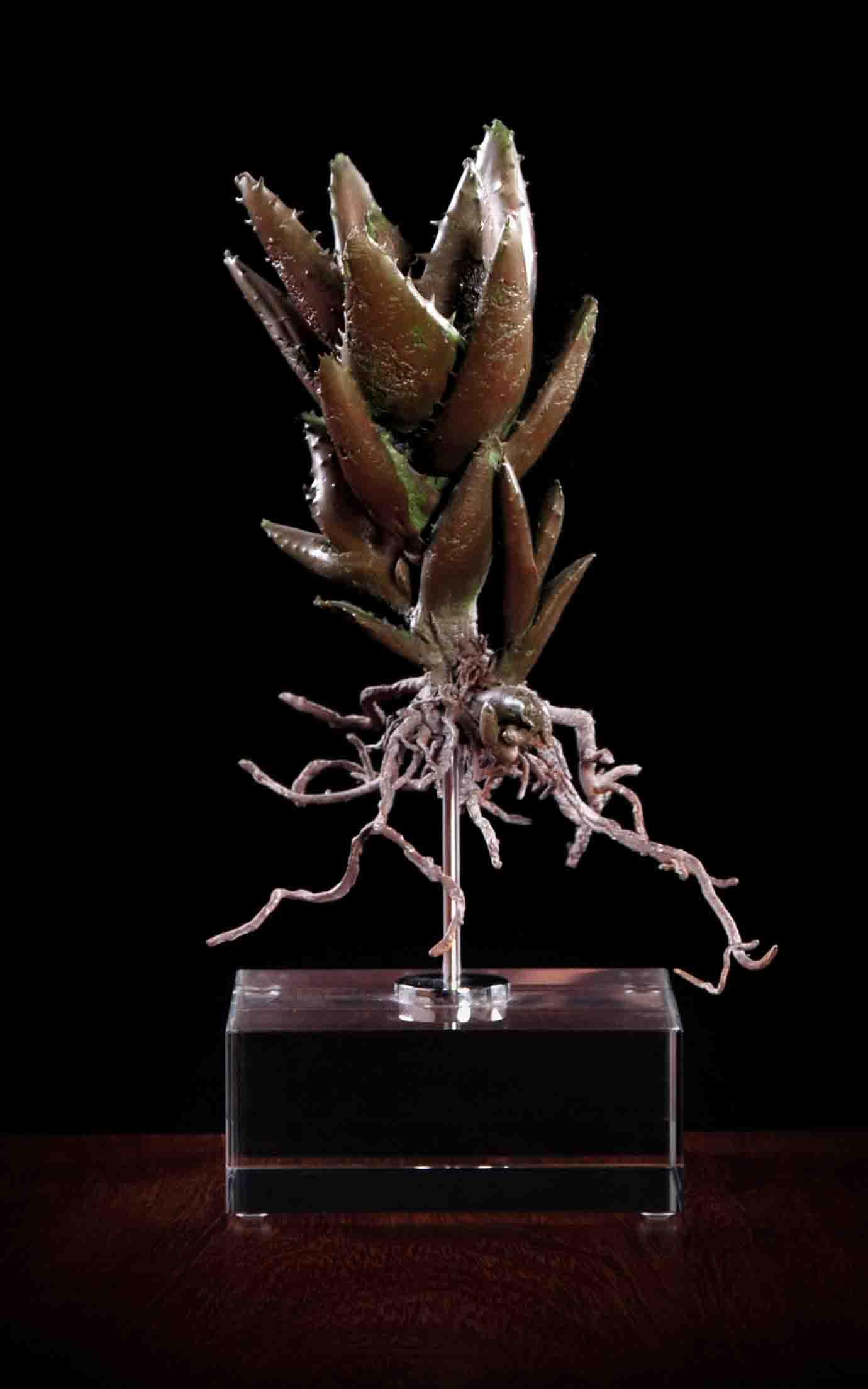Aloe mitriformis i