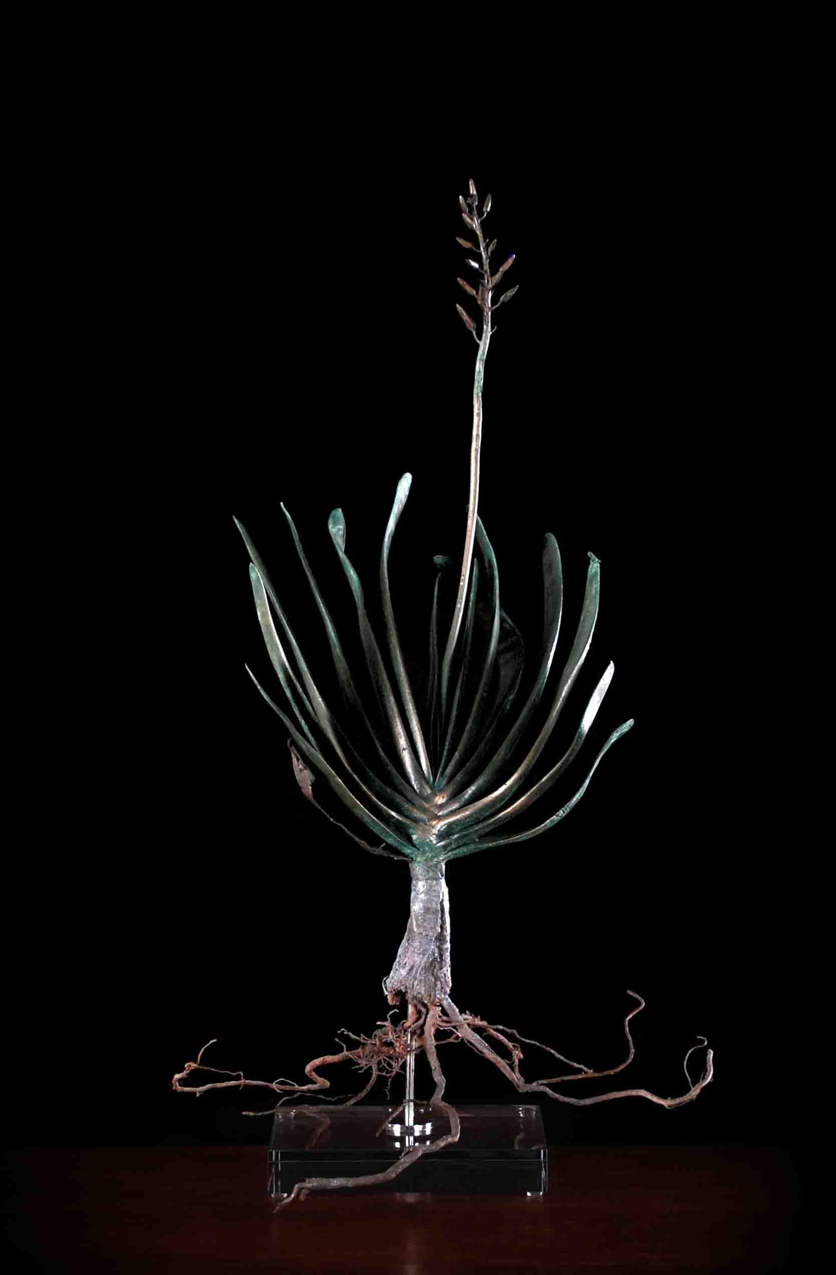 Aloe plicatilis (fan aloe)