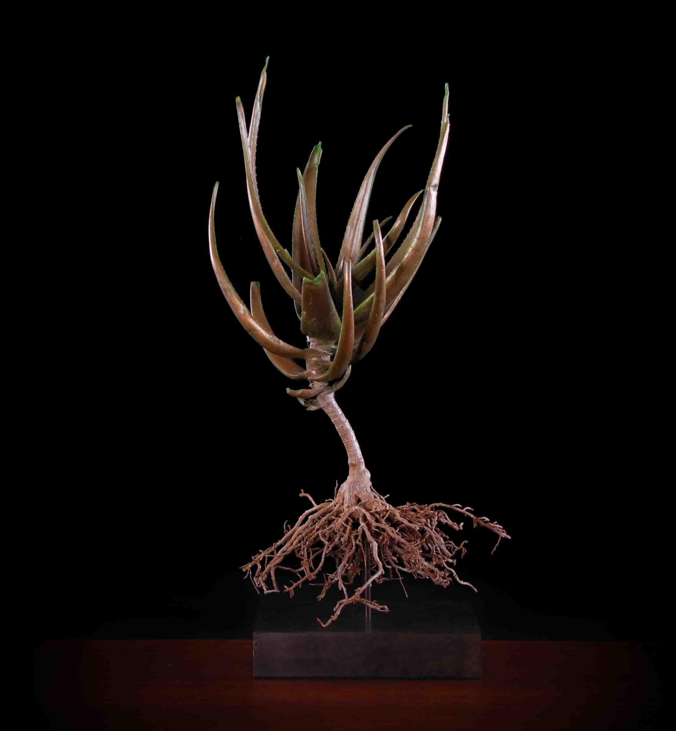 Aloe speciosa (tilt head aloe)