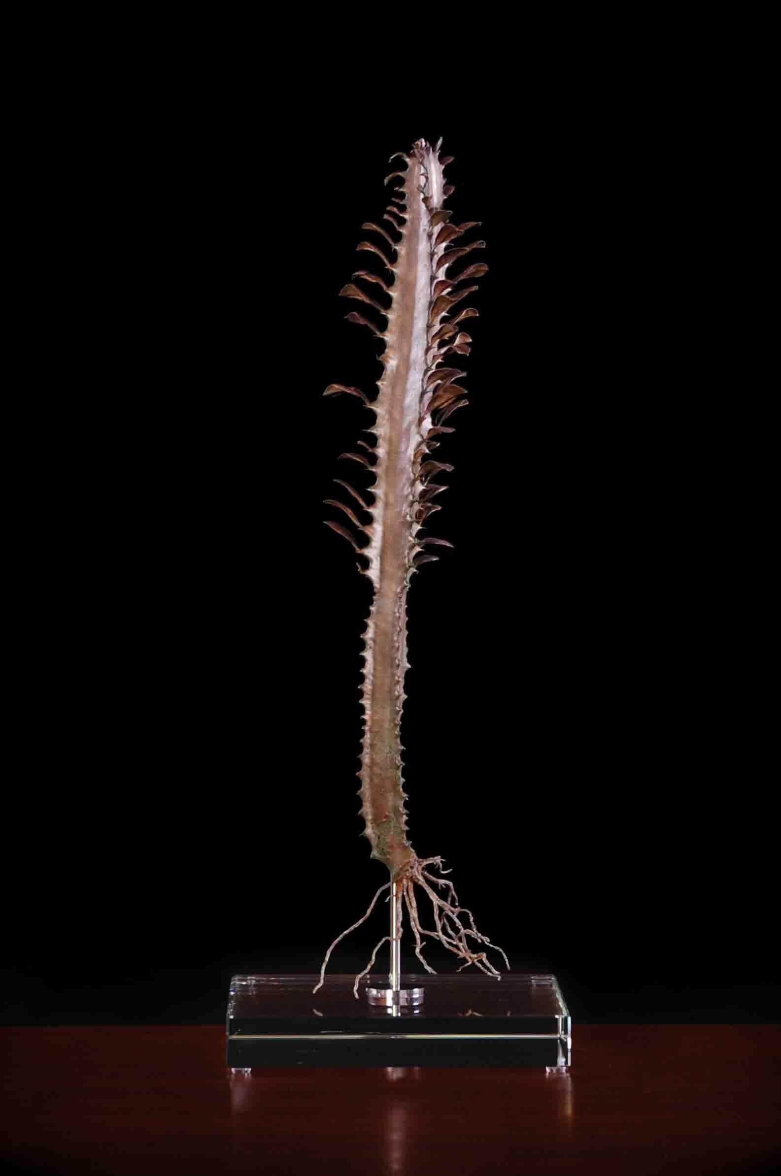 Euphorbia trigona (var rubra)