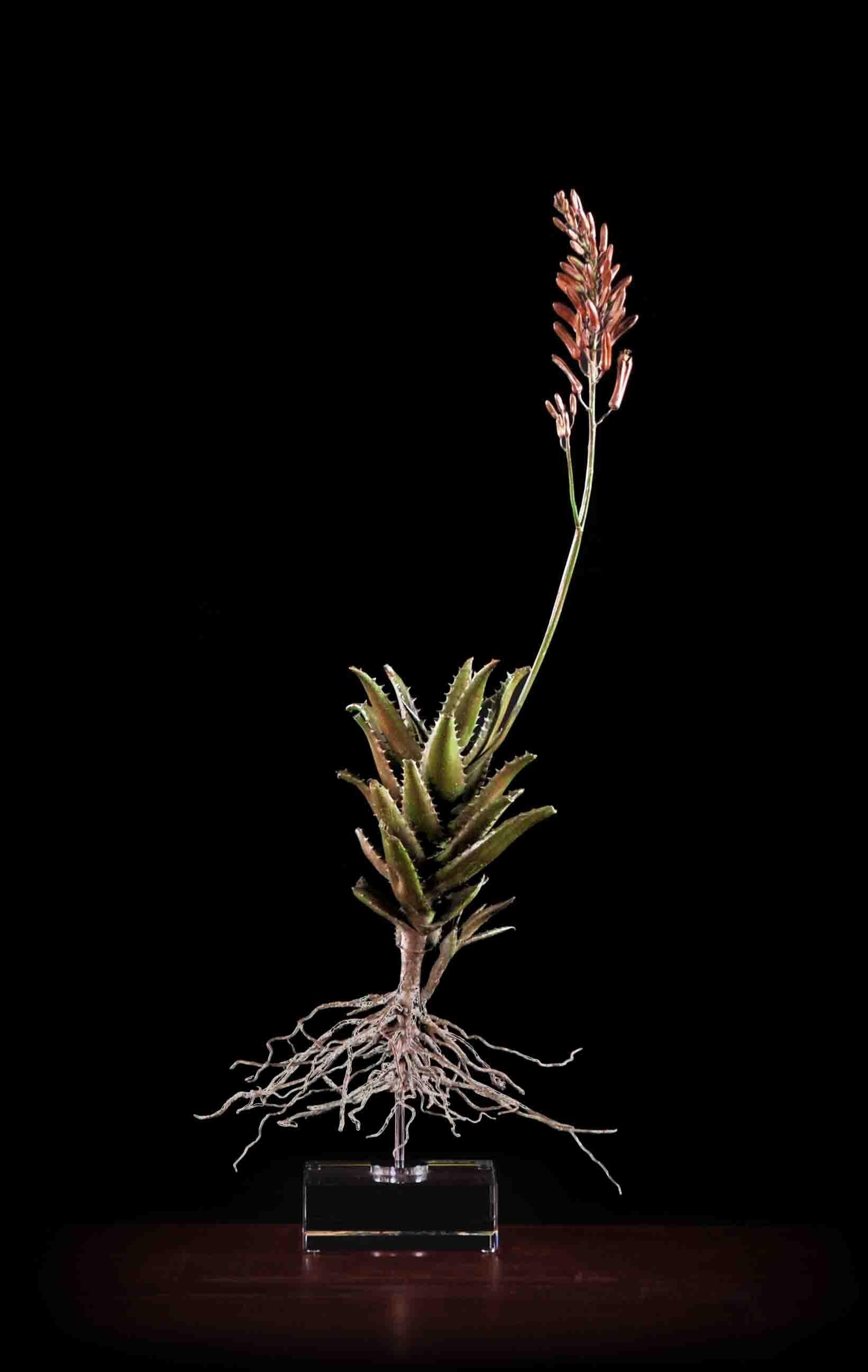 Aloe gawie ii