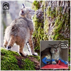 Photo credit: Gold Country Wildlife Rescue
