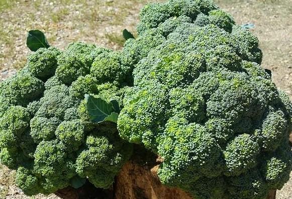 broccolionstumpcloseup.jpg