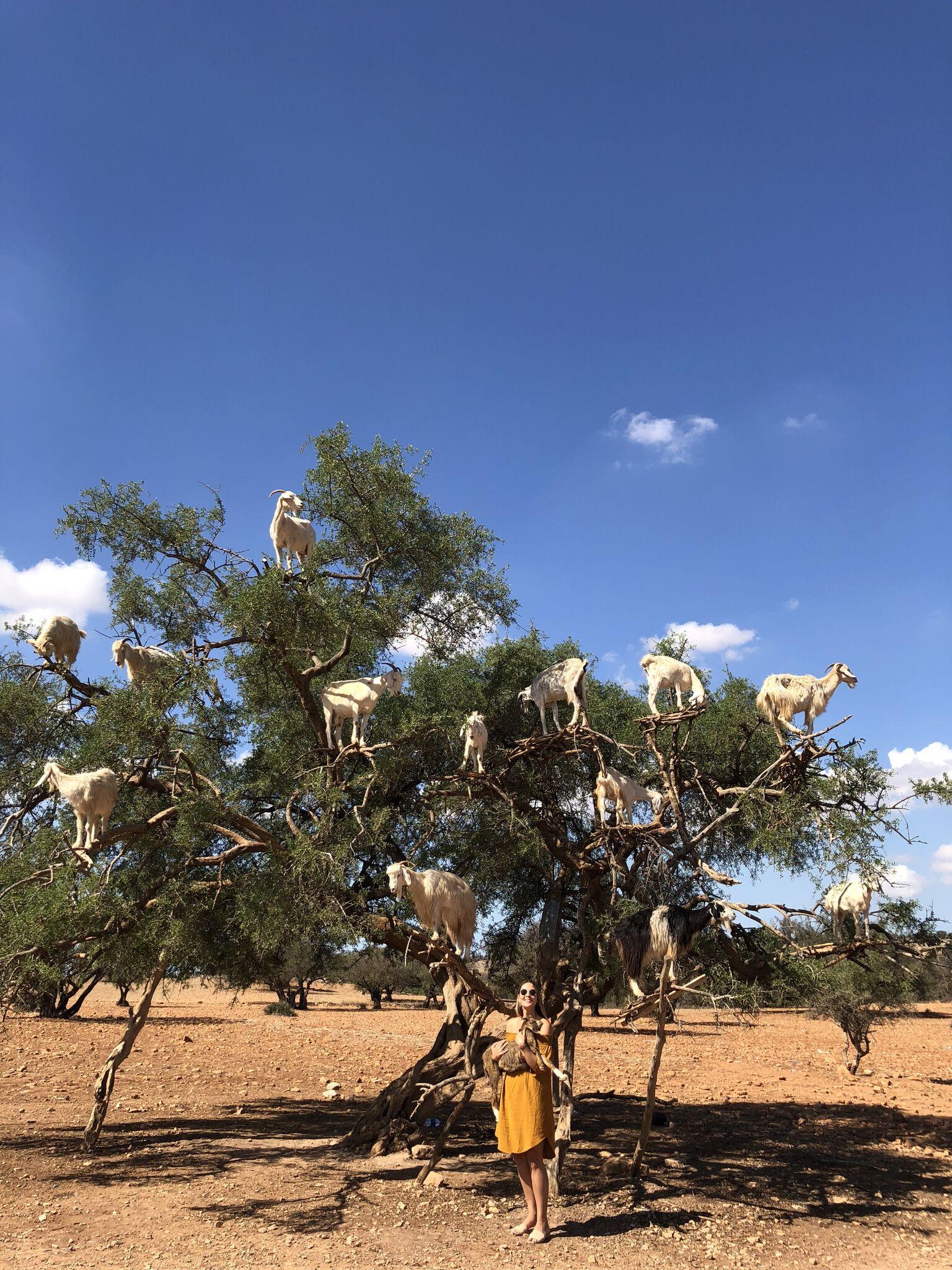 Goat Trees Essaouira.jpg