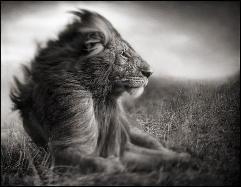 nick-brandt-lion-before-storm.jpg