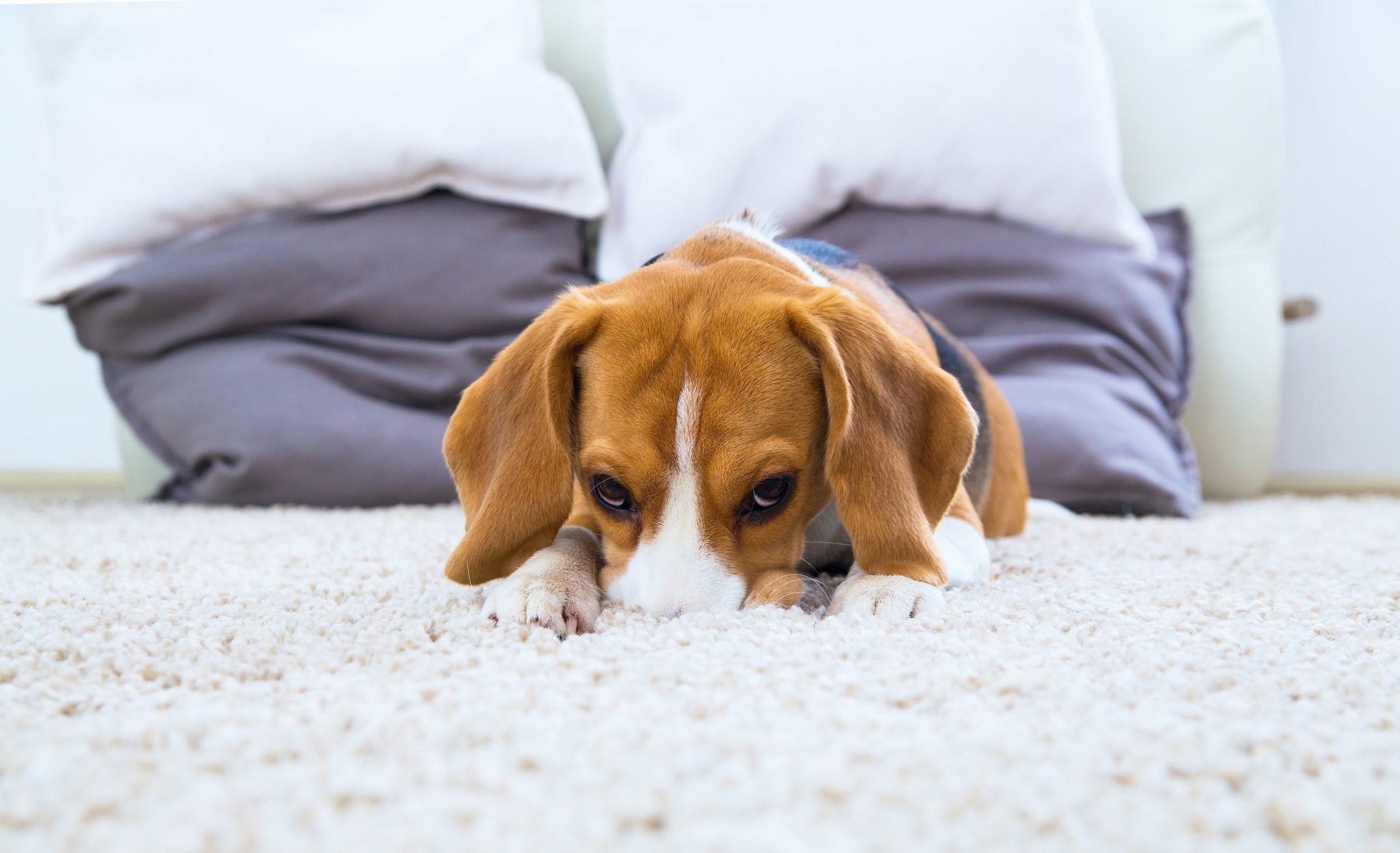 bigstock-Dog-Relaxing-On-The-Carpet-113989028.jpg