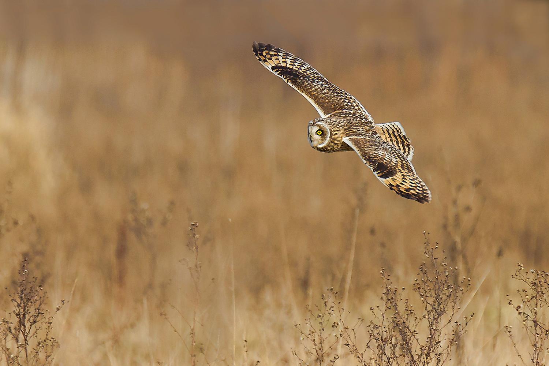 shortear_flight.jpg