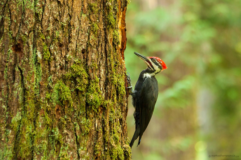 pileated_woodpecker.jpg