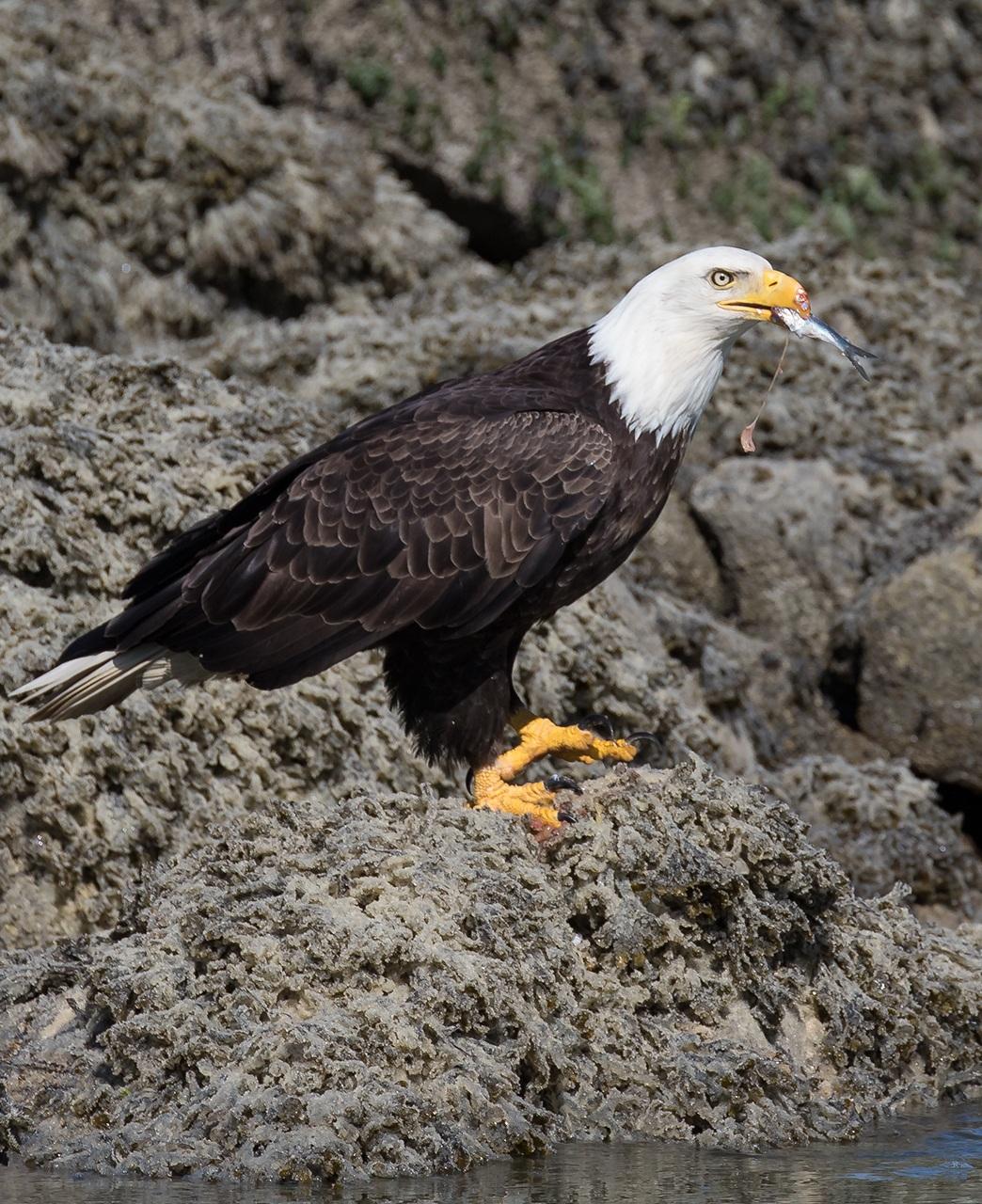 cc-eagle.jpg