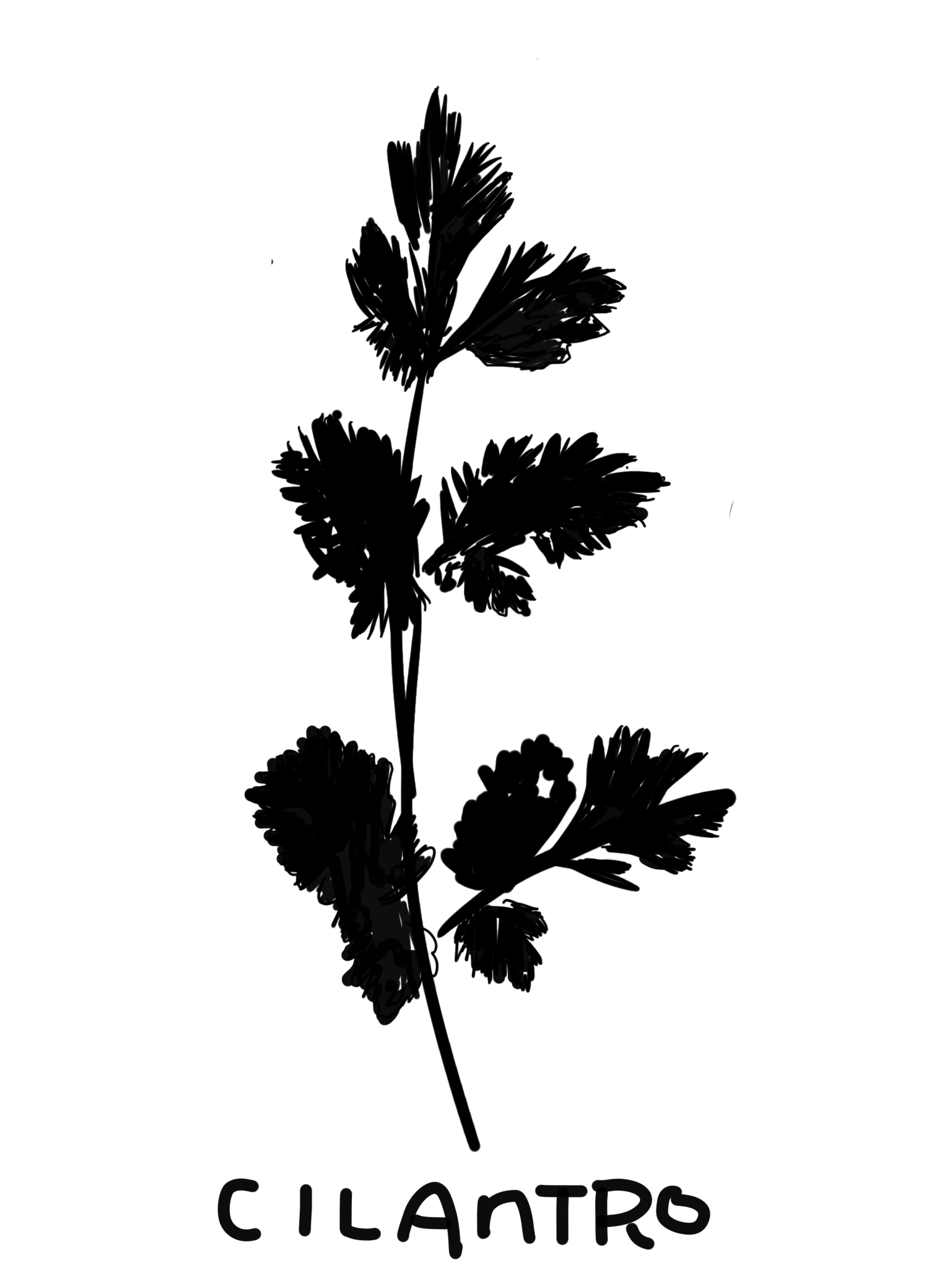 Cilantro. sketch done on iPad, using the  Sketches+App .