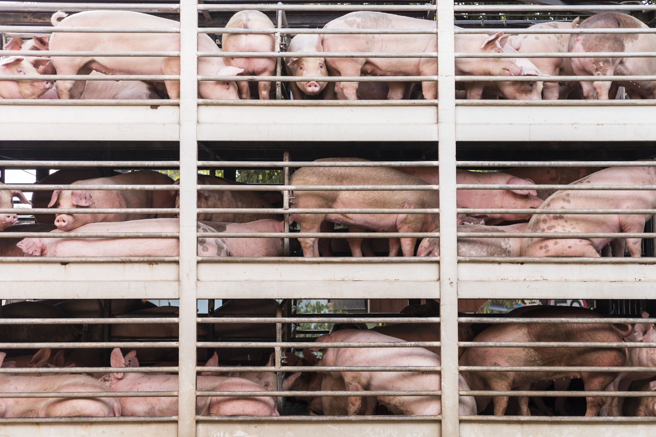 Pigs would be prone to diseases while waiting for 10 hours in a hot truck stop under the new ELD law.