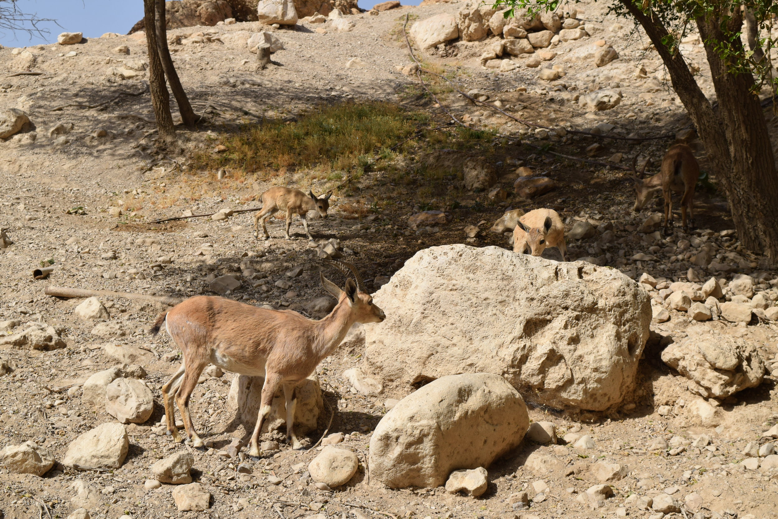 Family of ibex