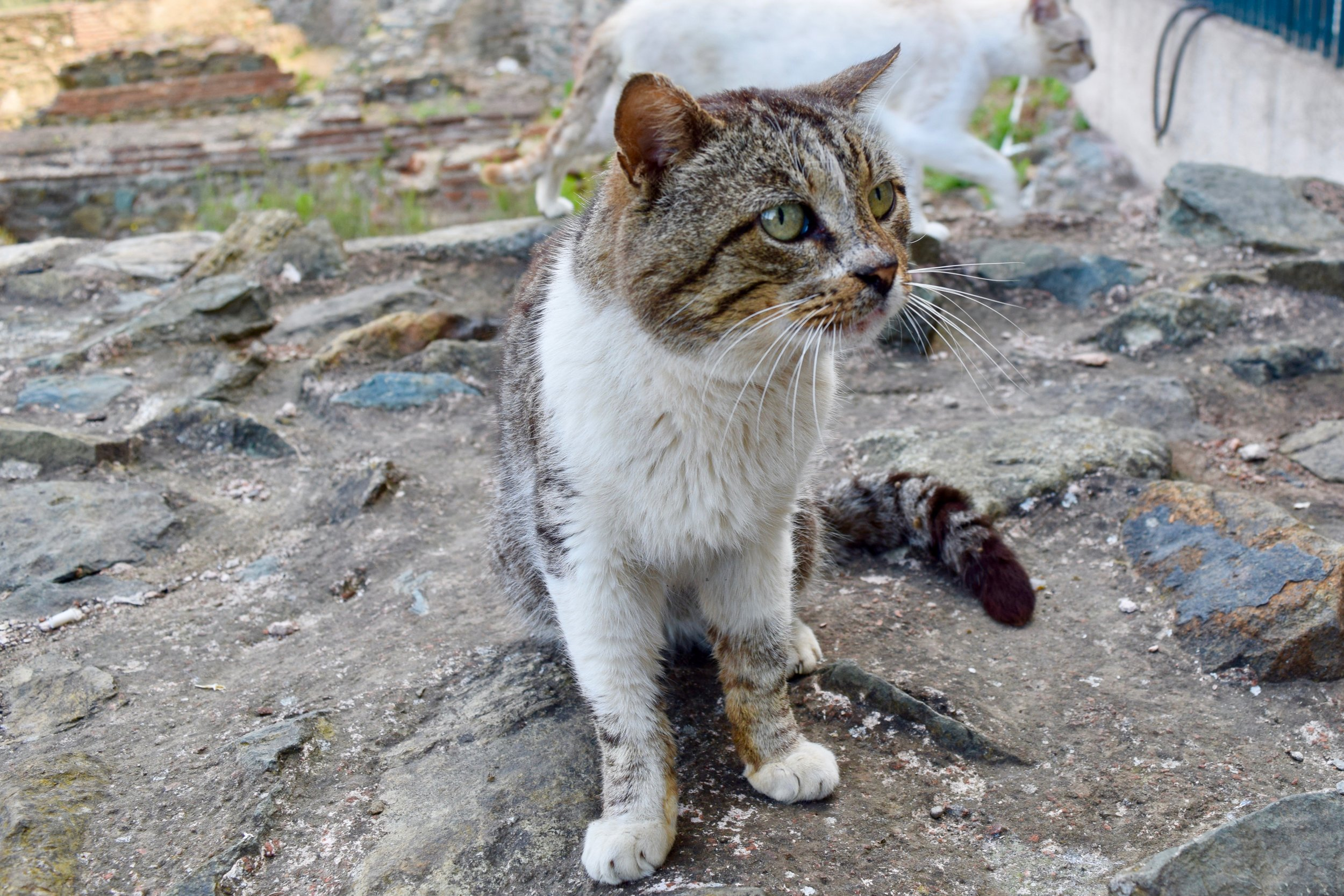 Cat on the ruins