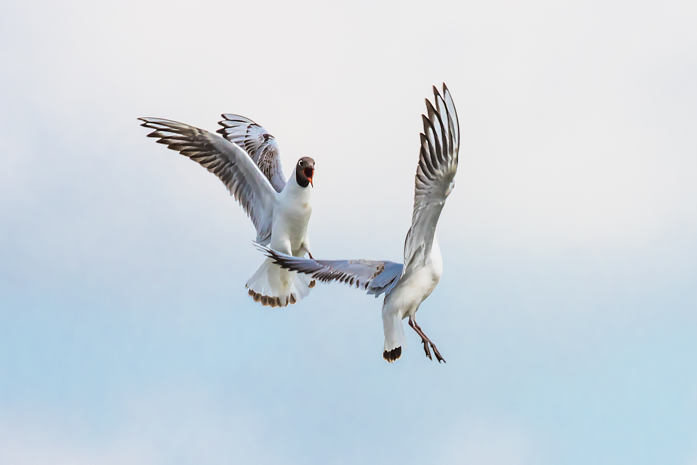 Aerial bickering