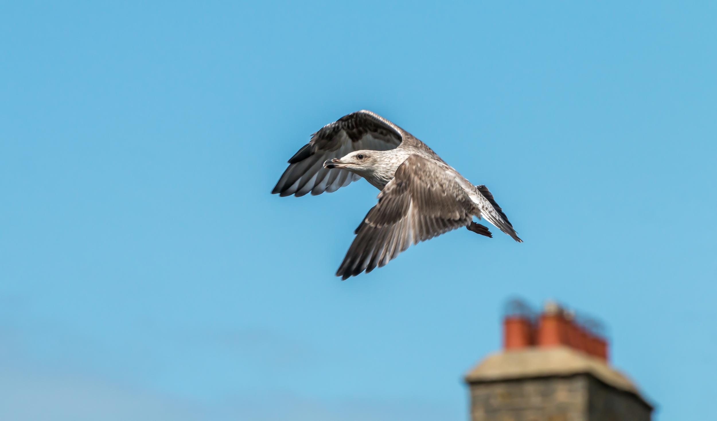 Juvenile Lesser Black Backed Gull