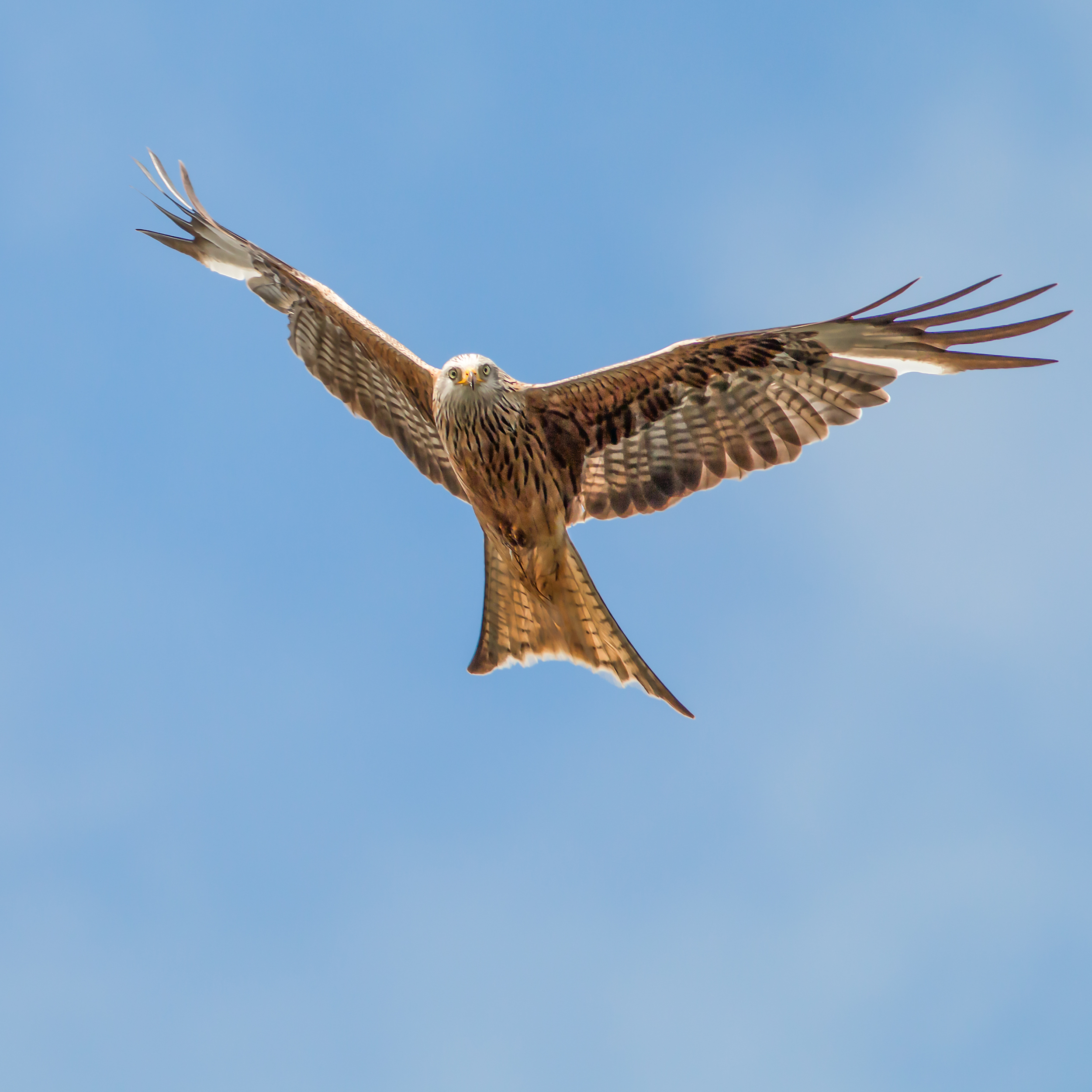 A young Red Kite