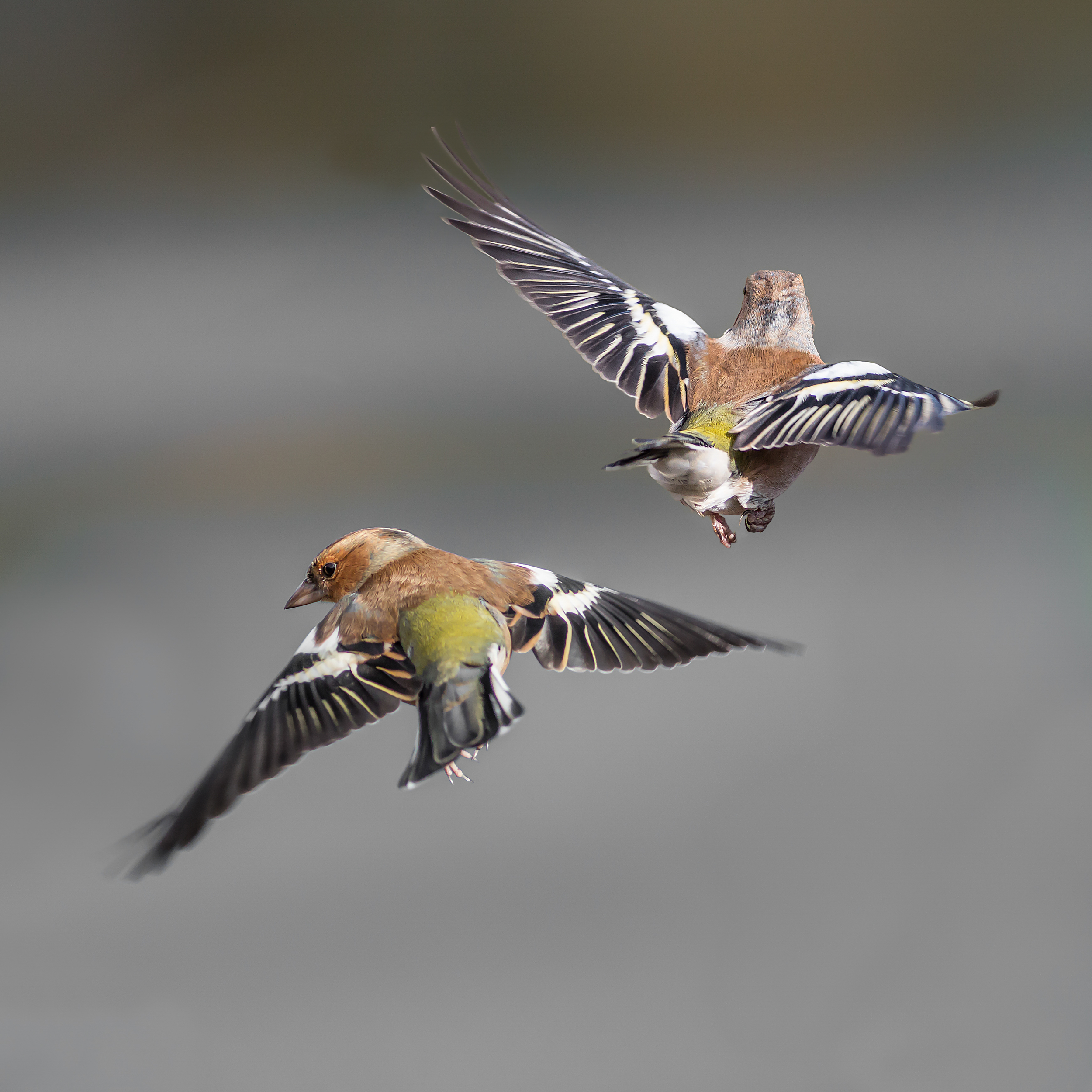 Two male Chaffinches
