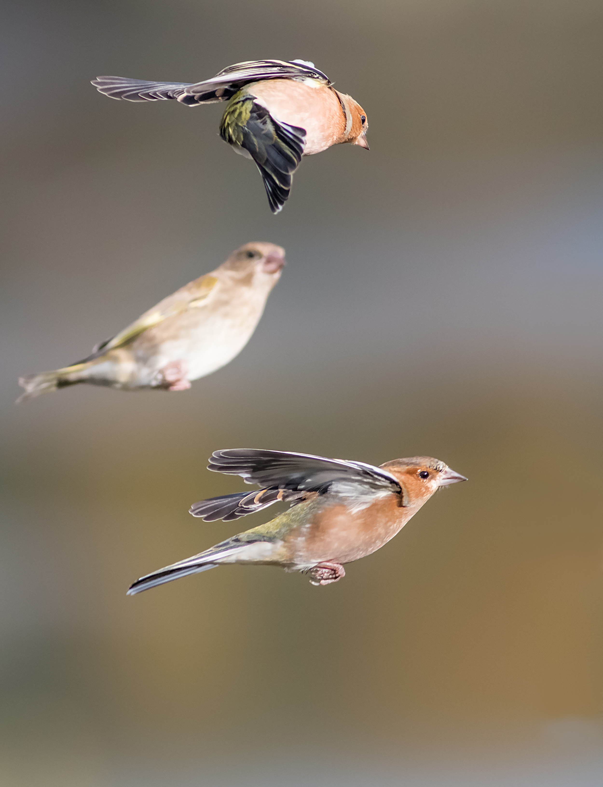 Some acrobatic Chaffinches