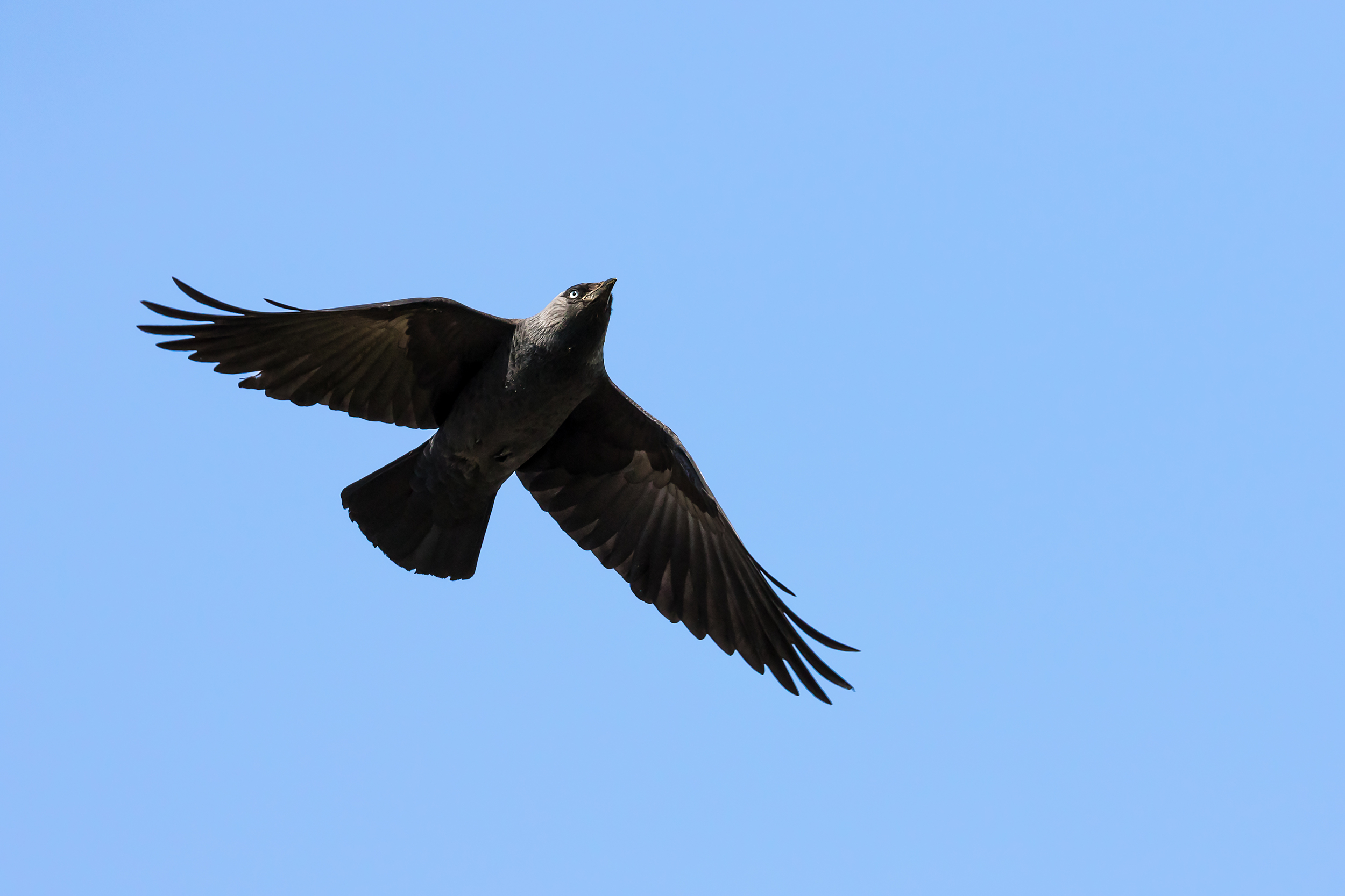 A Jackdaw flying overhead