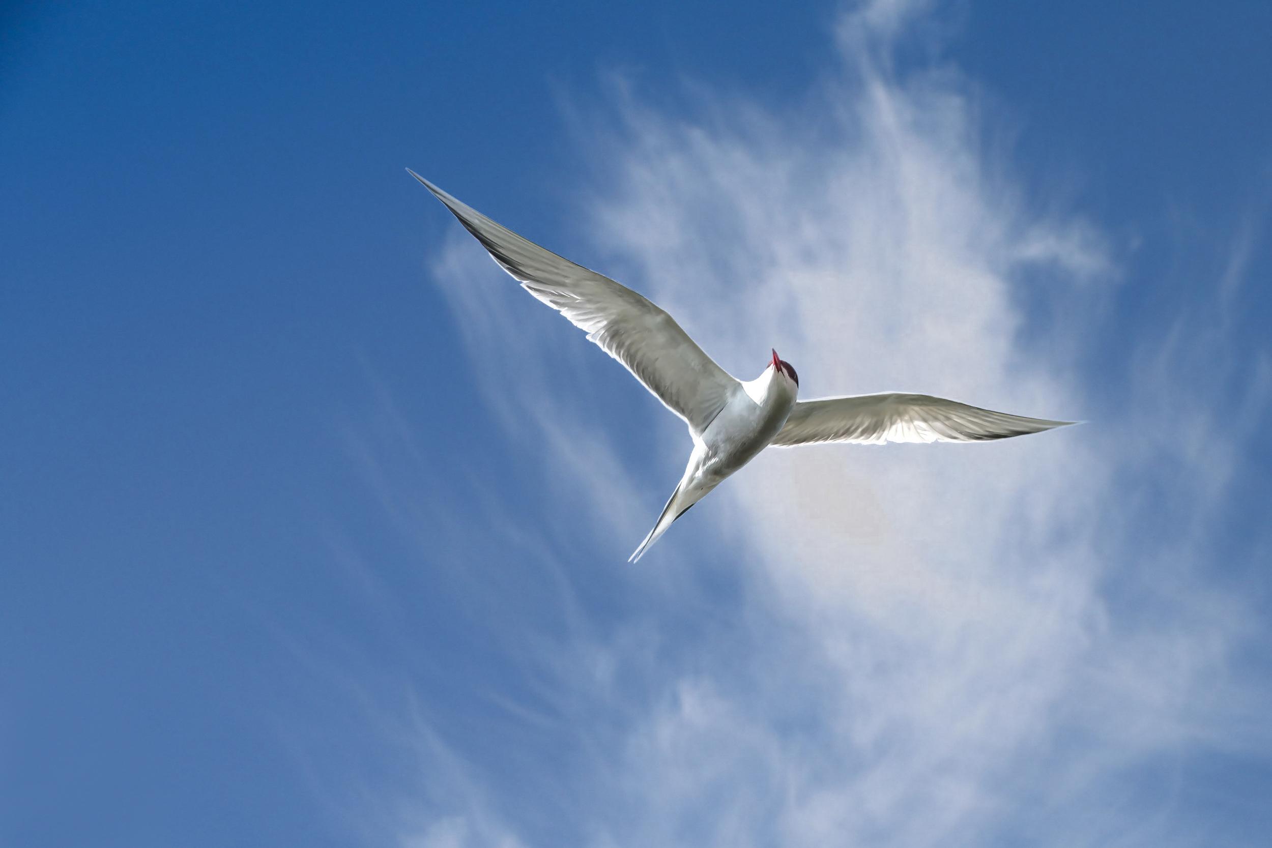 The beautiful Common Tern
