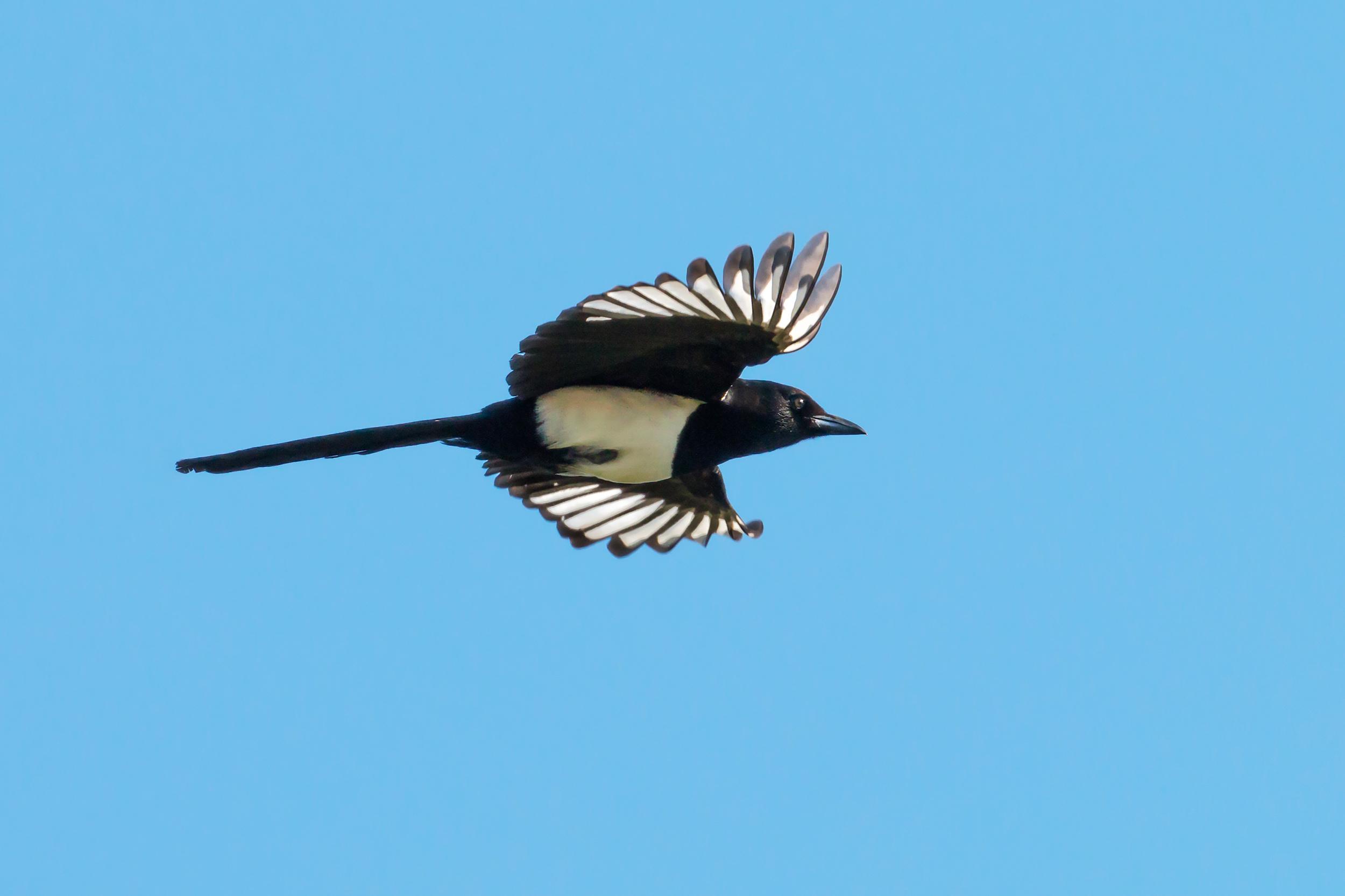 Magpie flypast