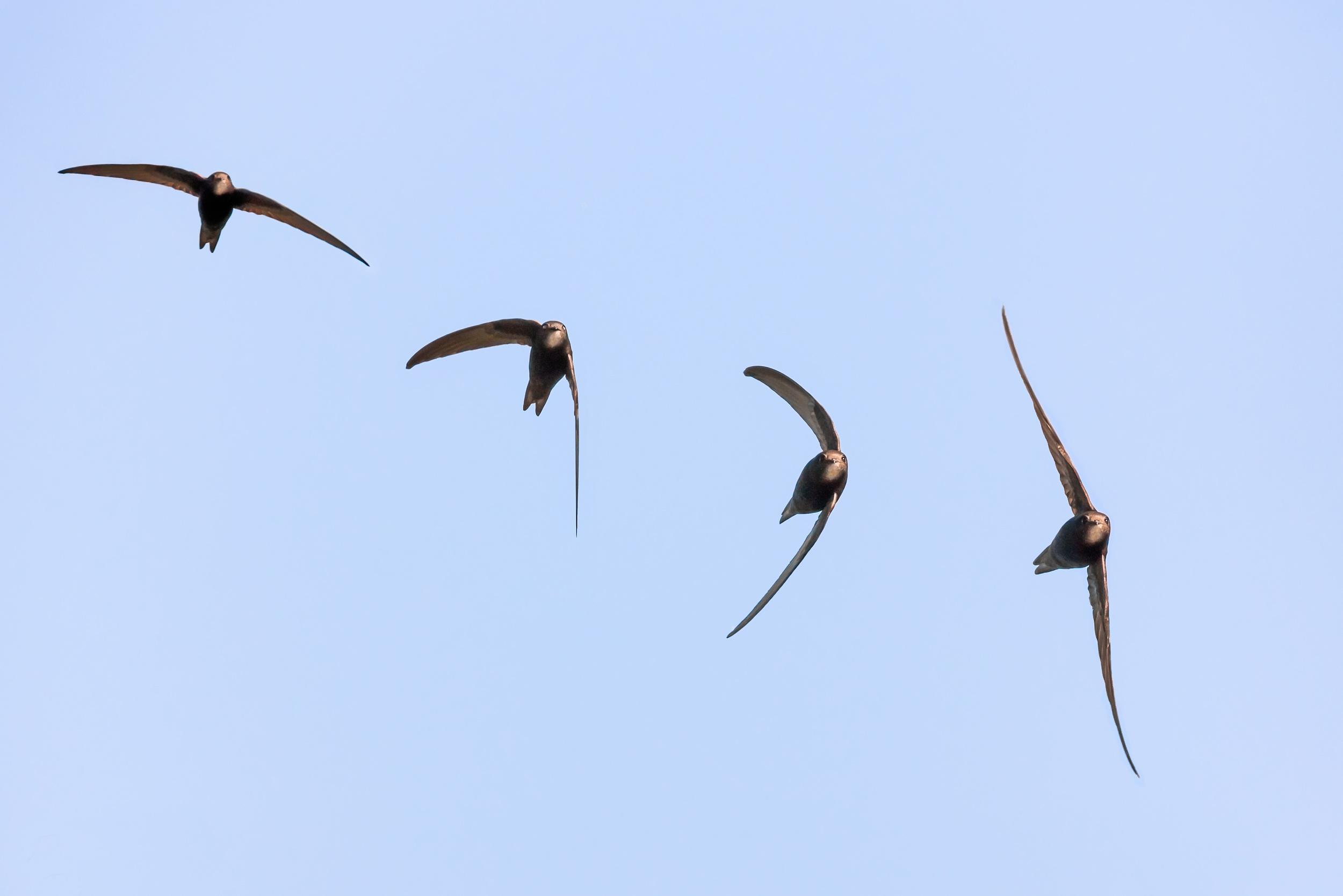 A Swift in flight (composite)