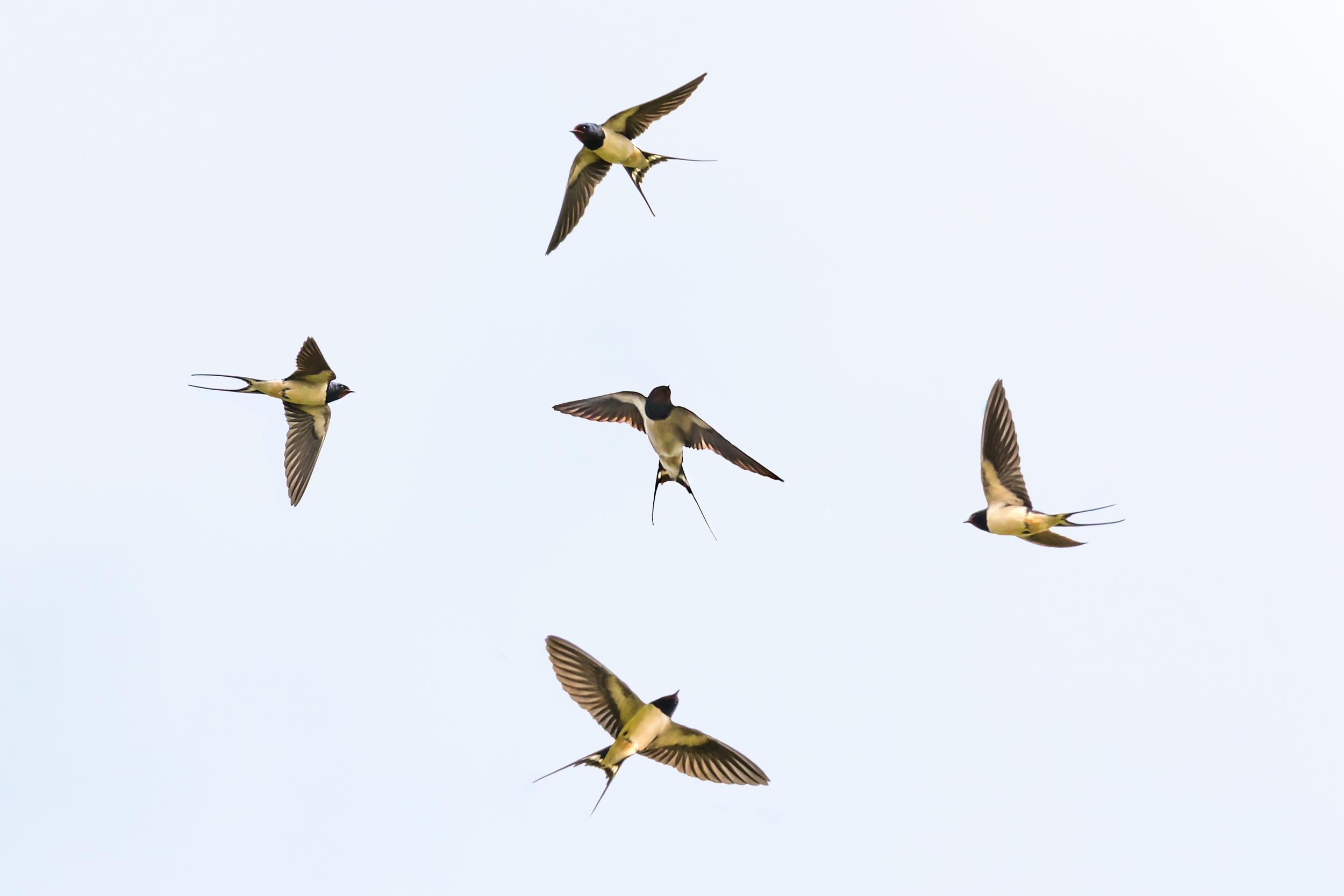Various Swallows (composite)