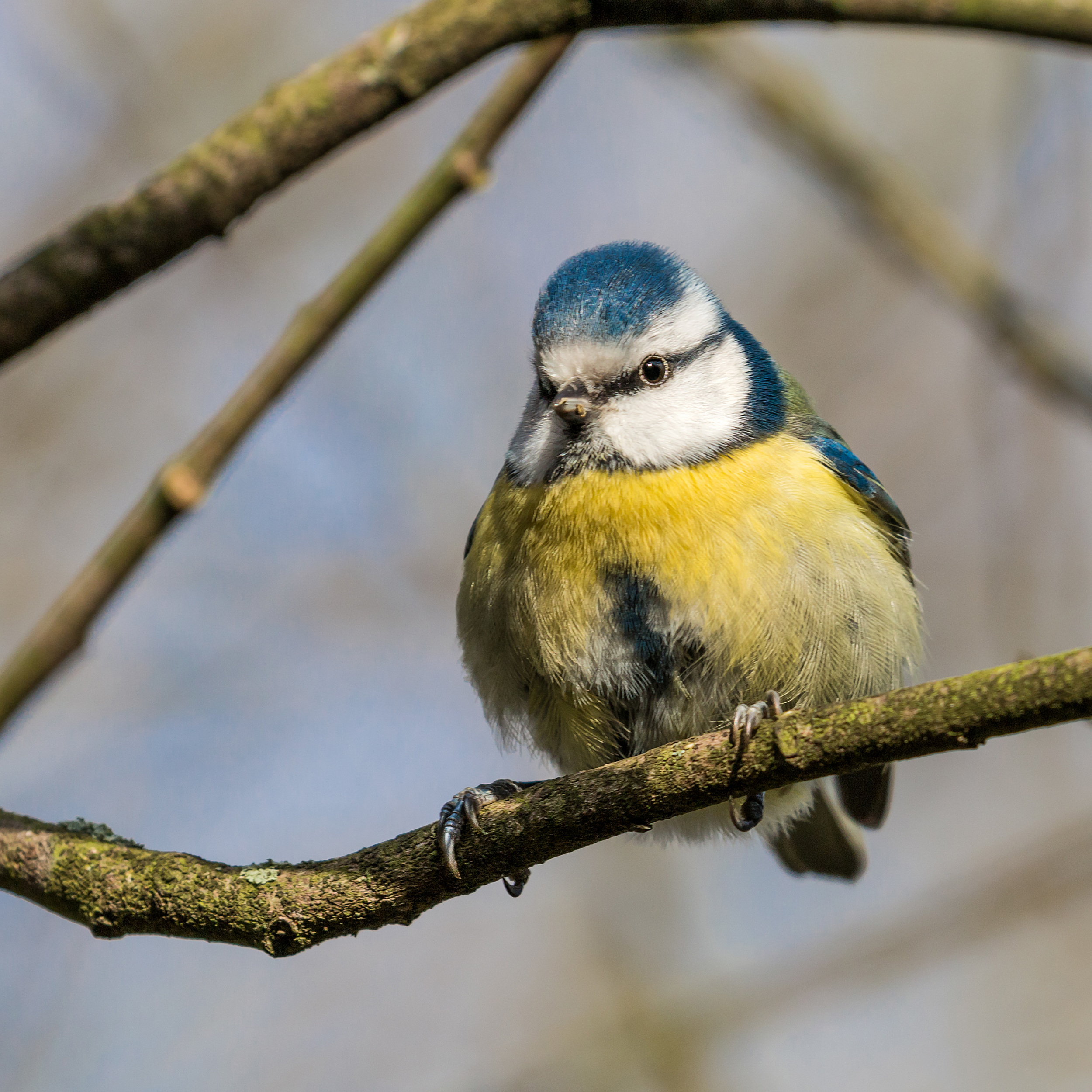 A plump Blue Tit