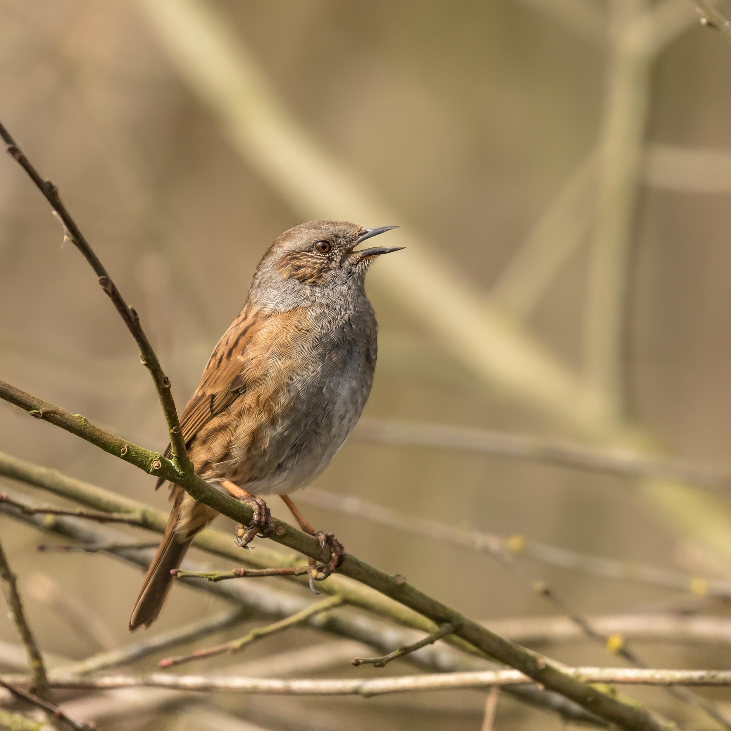Male Dunnock in full song