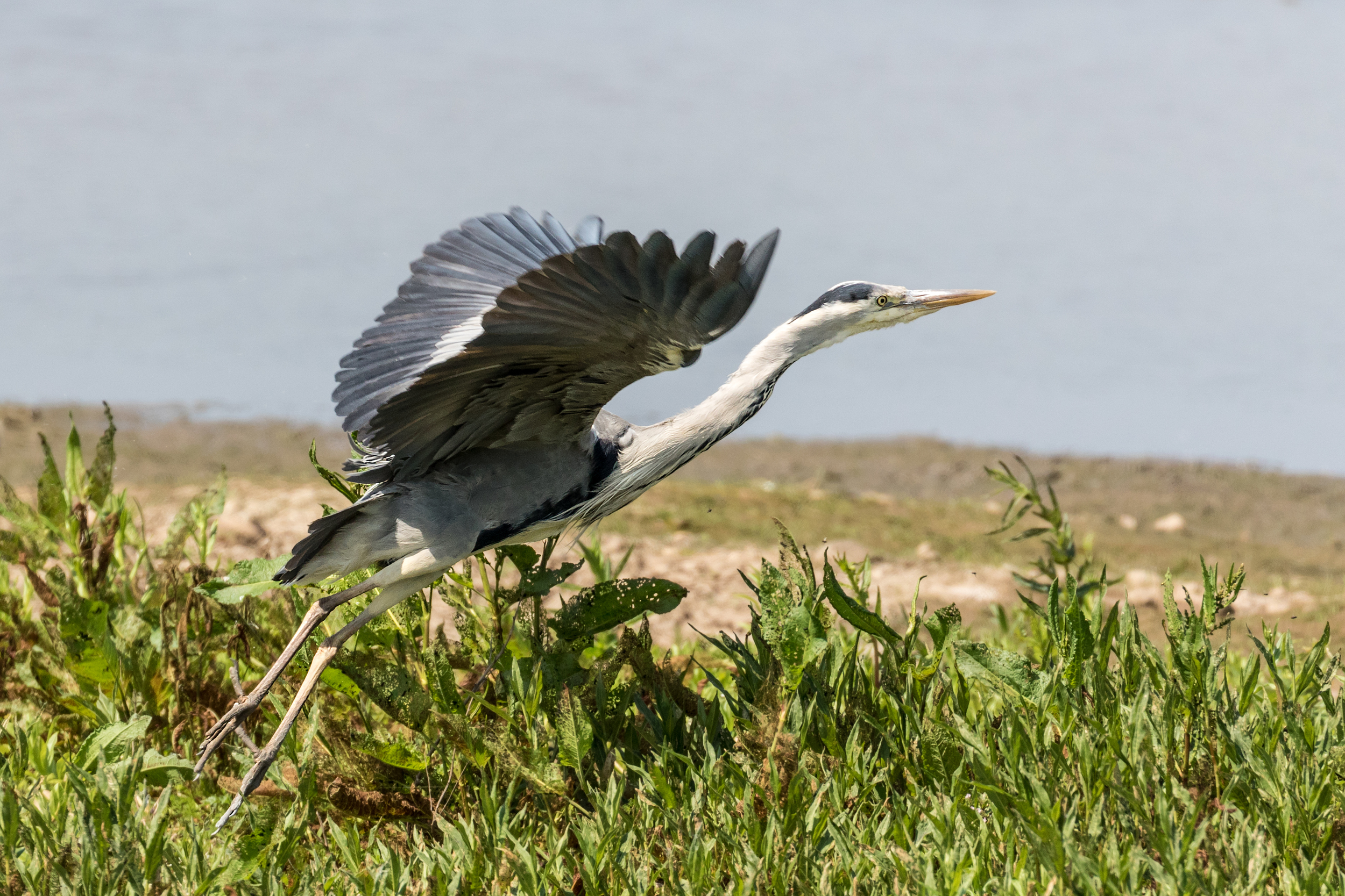 Grey Heron take off