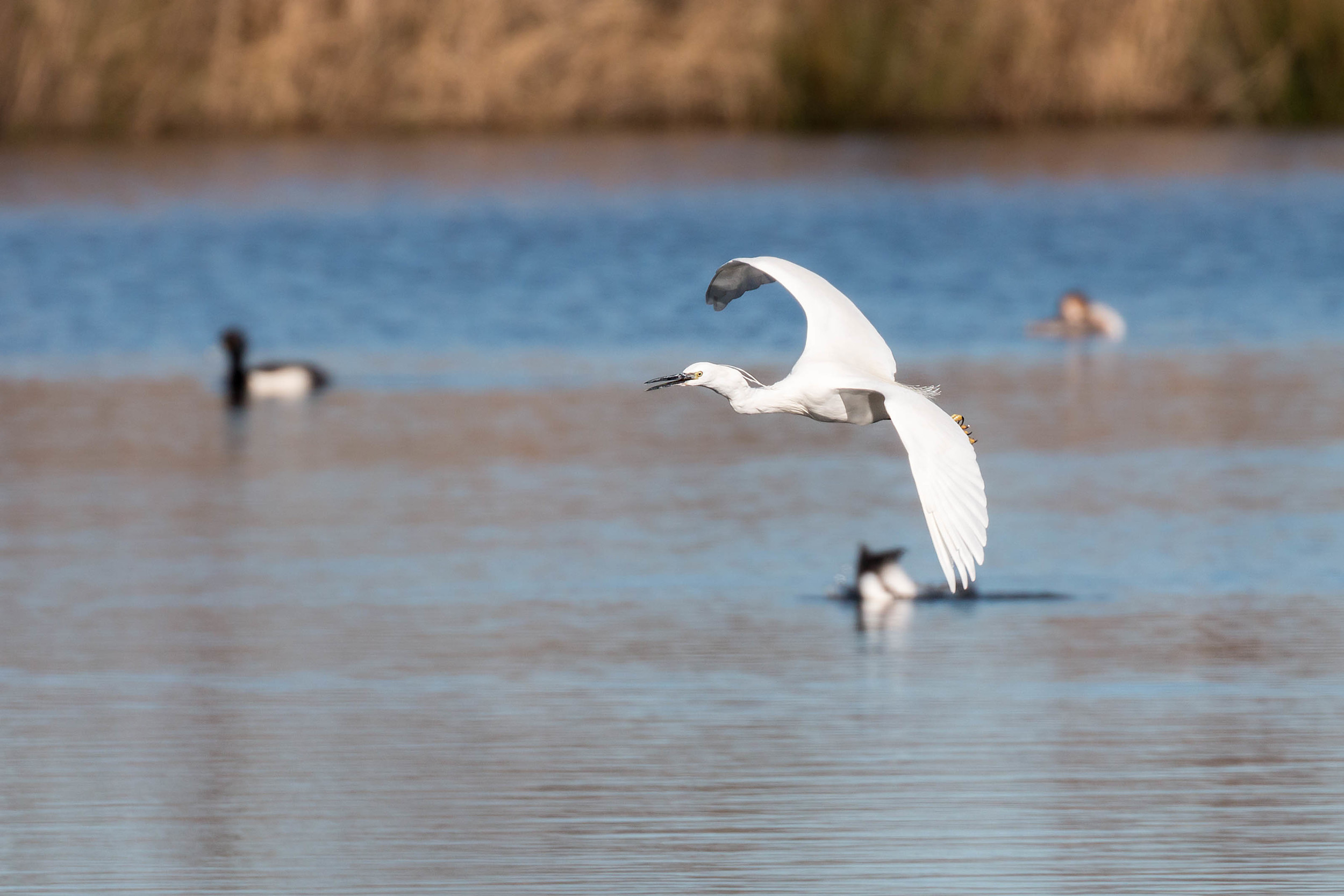 Little Egret overflying the lake