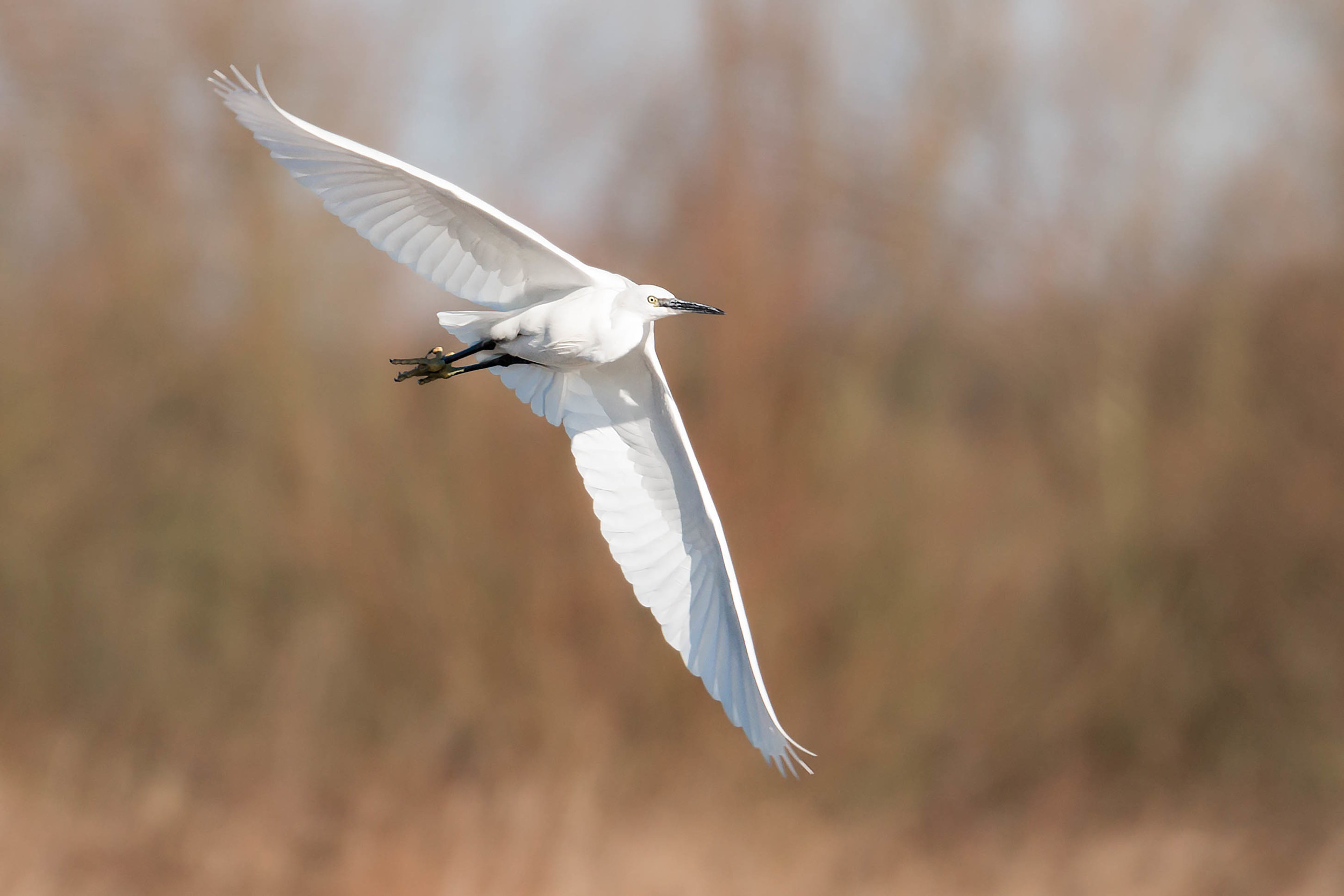 Delta winged Little Egret