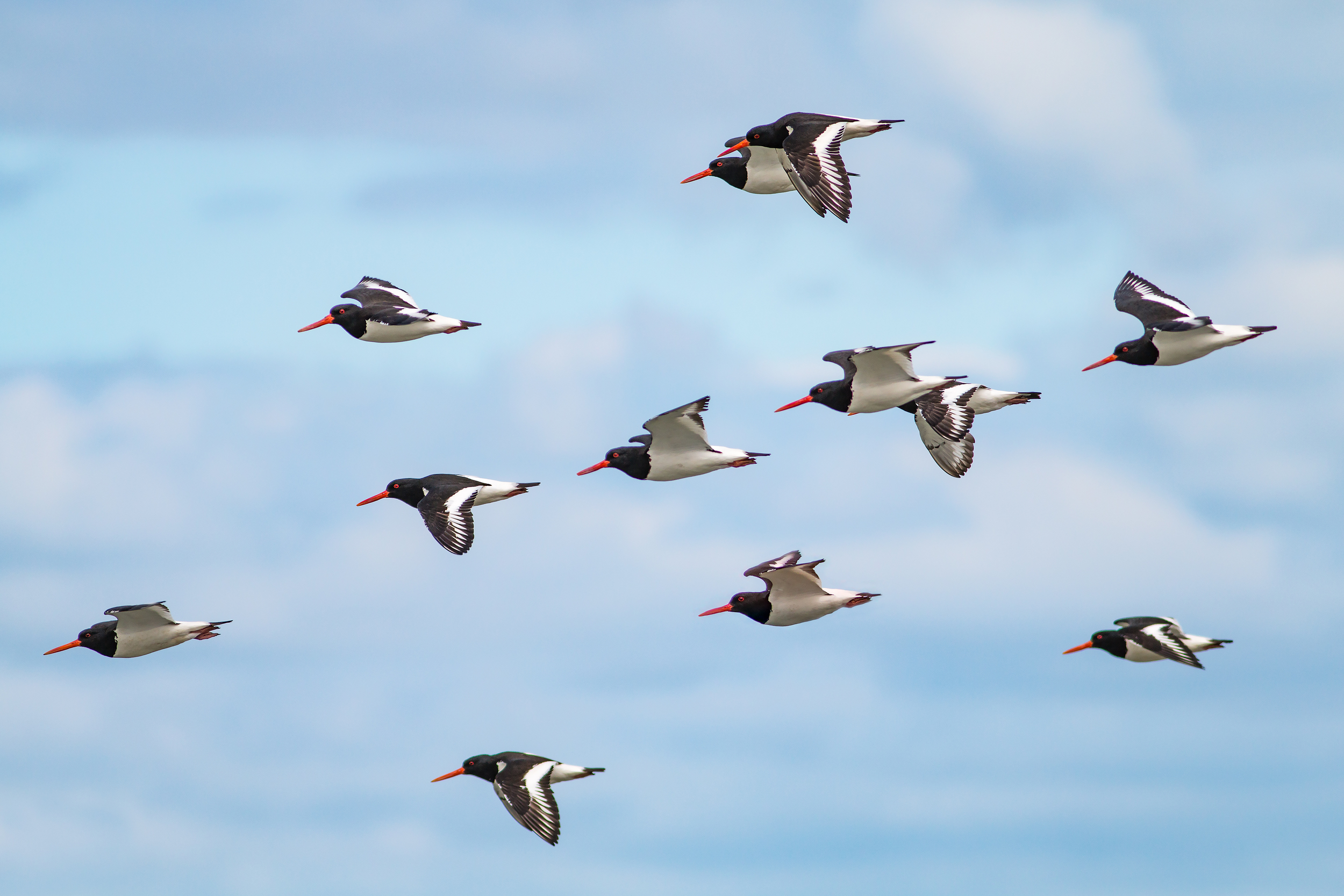 Oyster Catchers flying down to the shoreline