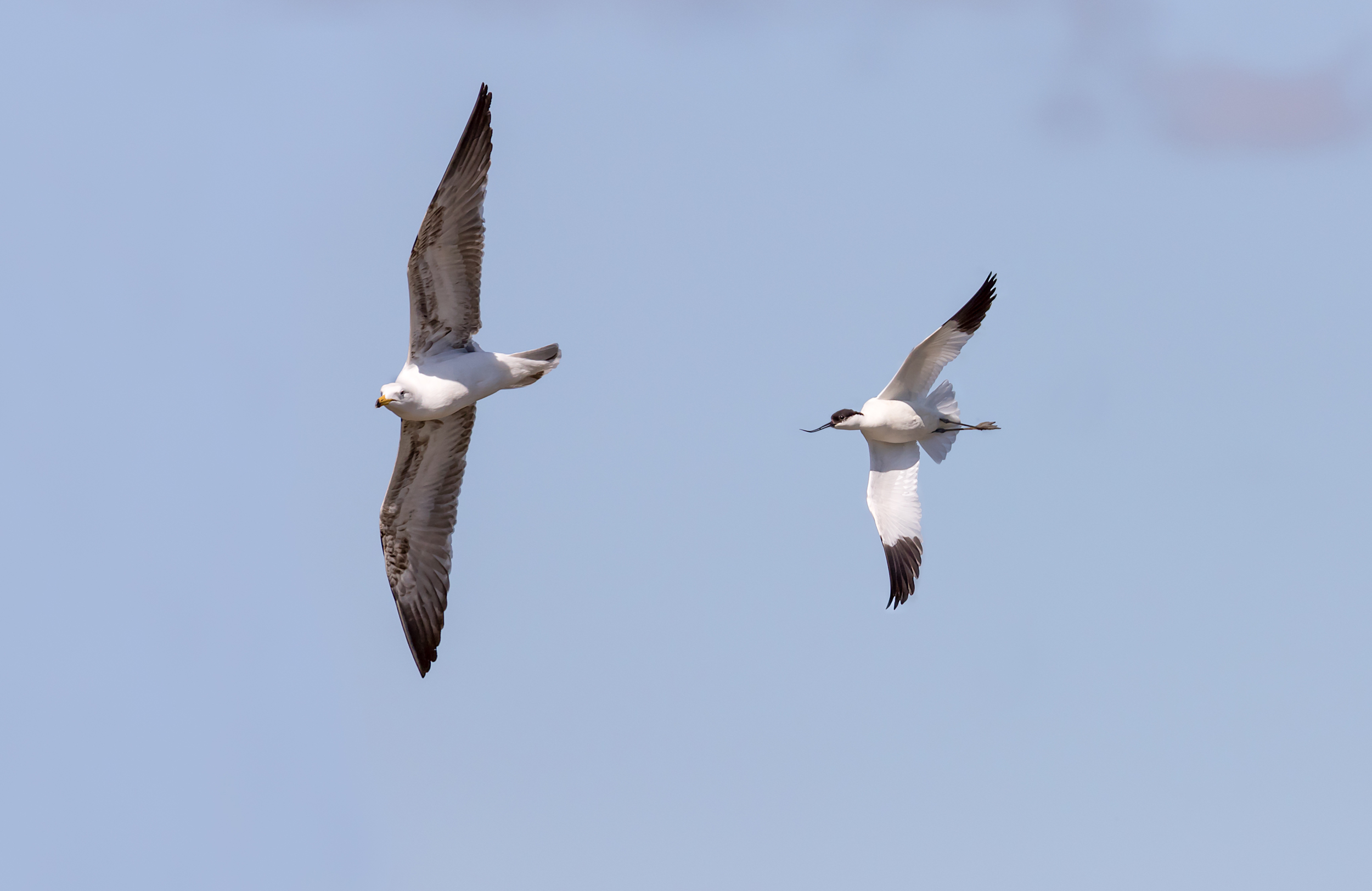 Avocet chasing off a large gull