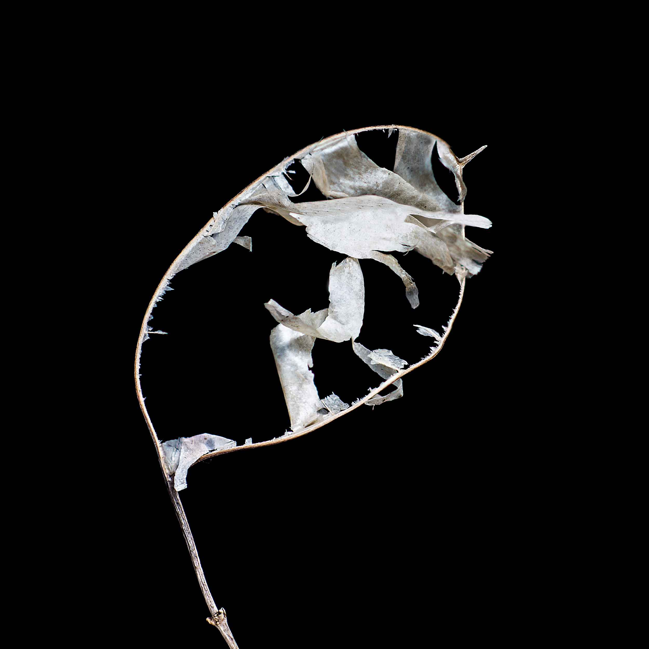 """""""Honesty sculpture"""" (Lunaria annua)"""