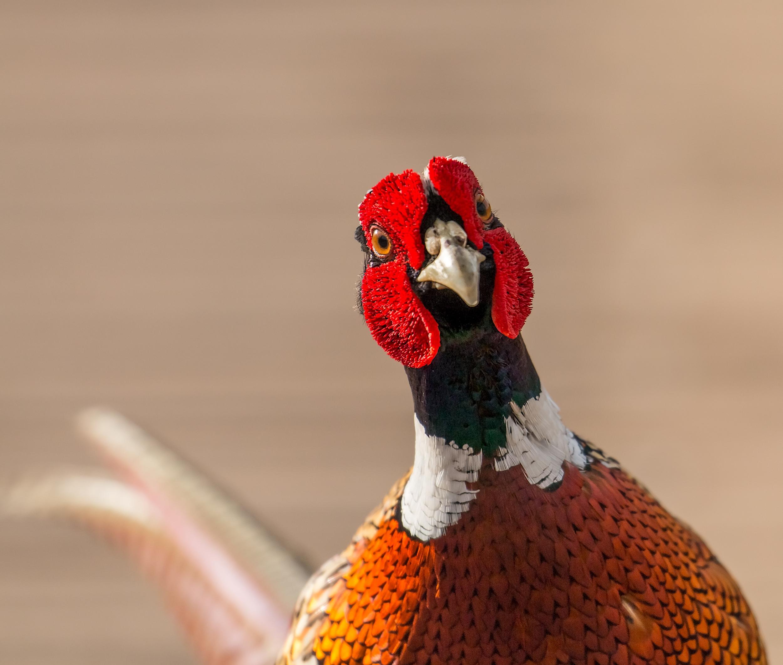 Pheasant attitude
