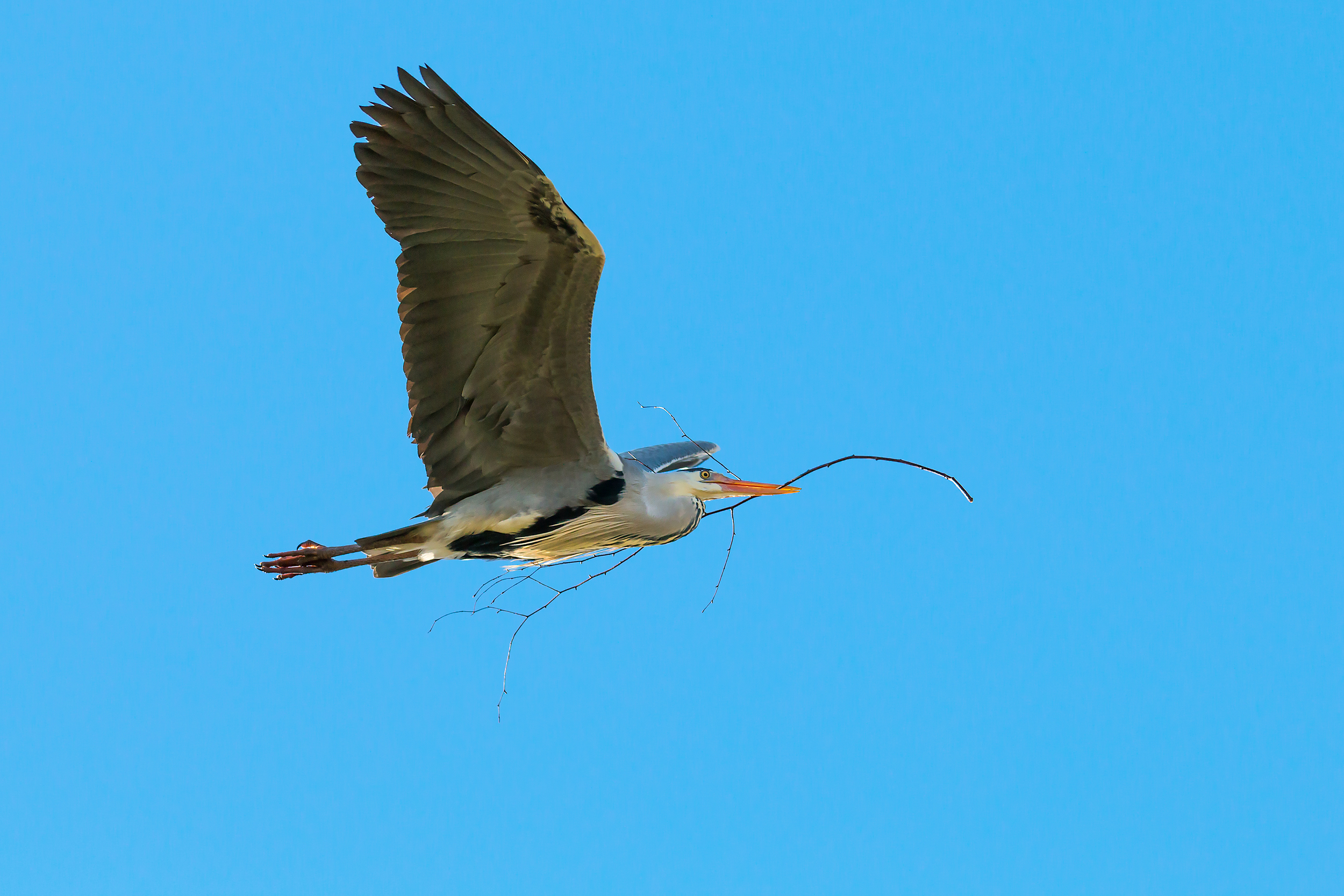 Grey Heron with nesting material #2